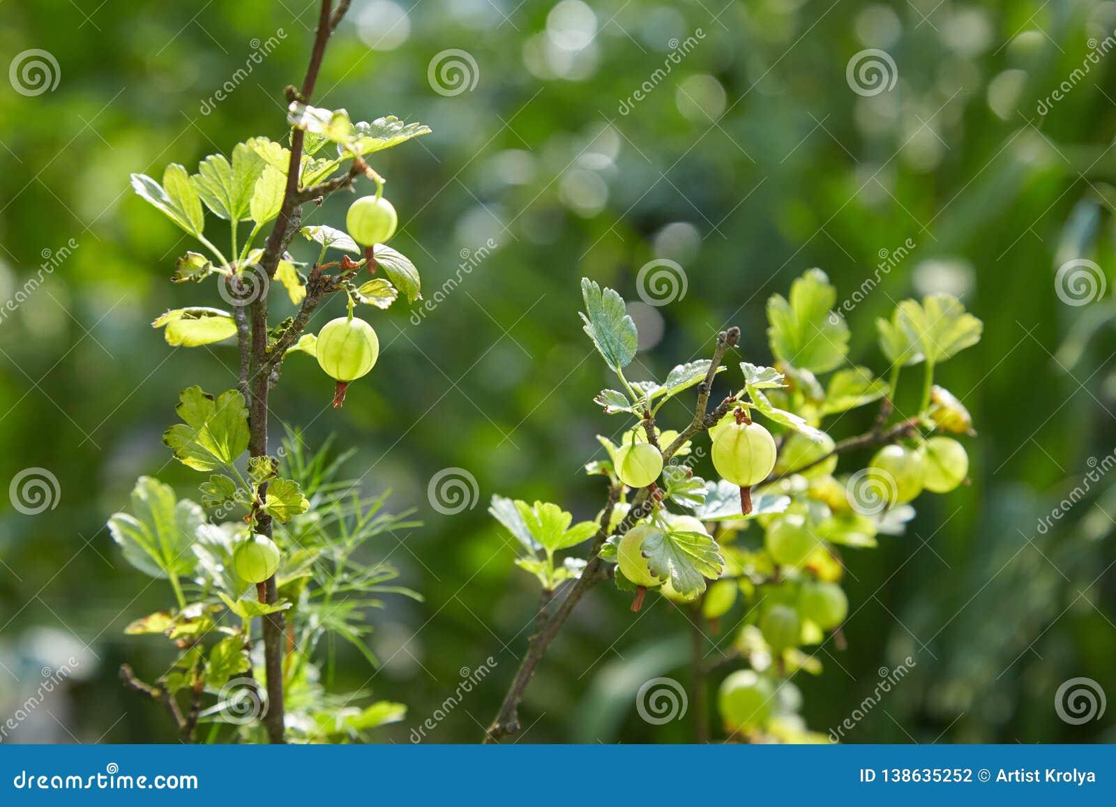 Groselhas verdes frescas em um ramo do arbusto de groselha com luz solar