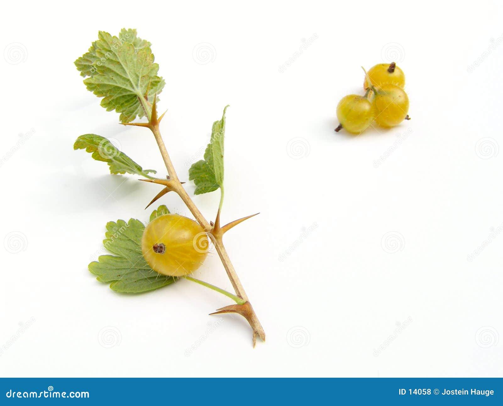 Grosellas espinosas