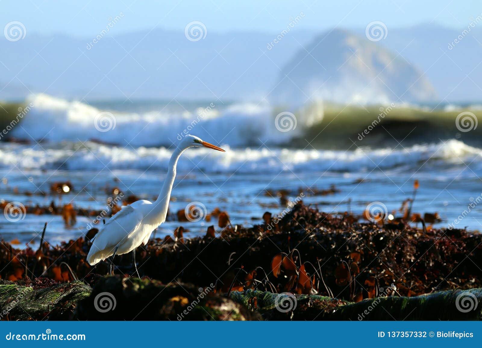 Grote Aigrette Ardea alba in rotsachtige intertidal habitat, dichtbij Morro-Baai, Californië, de V.S.
