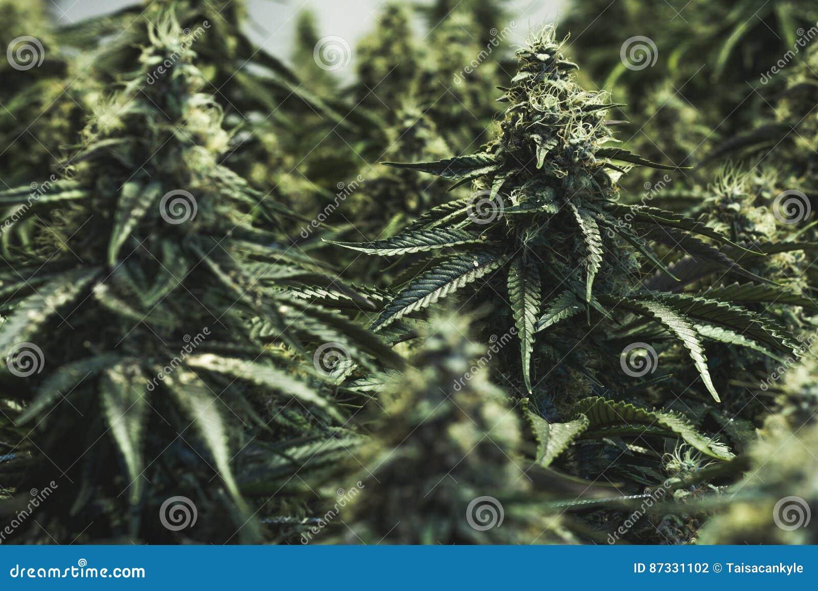 Grote binnencannabisknoppen