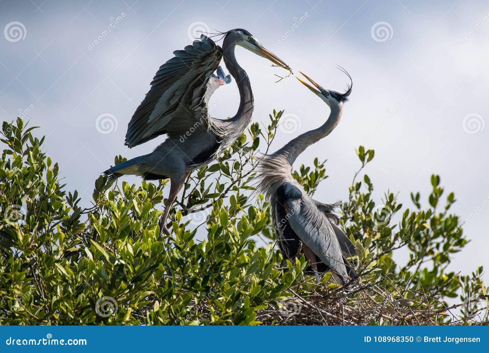 Grote Blauwe Reigers die een Nest bouwen