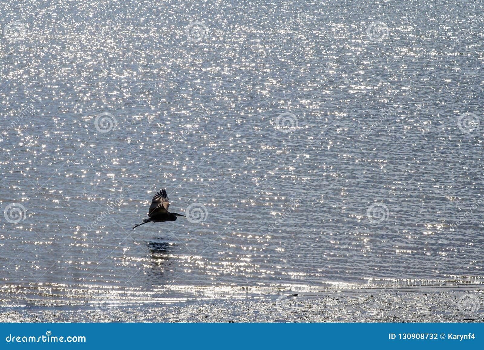 Grote blauwe reigervliegen dicht bij het water;