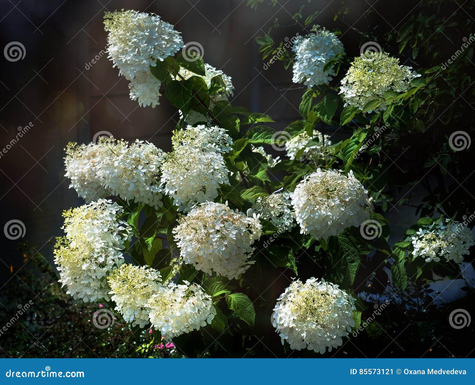 Grote bloeiende hydrangea hortensia bush stock foto afbeelding 85573121 - Bush architectuur ...