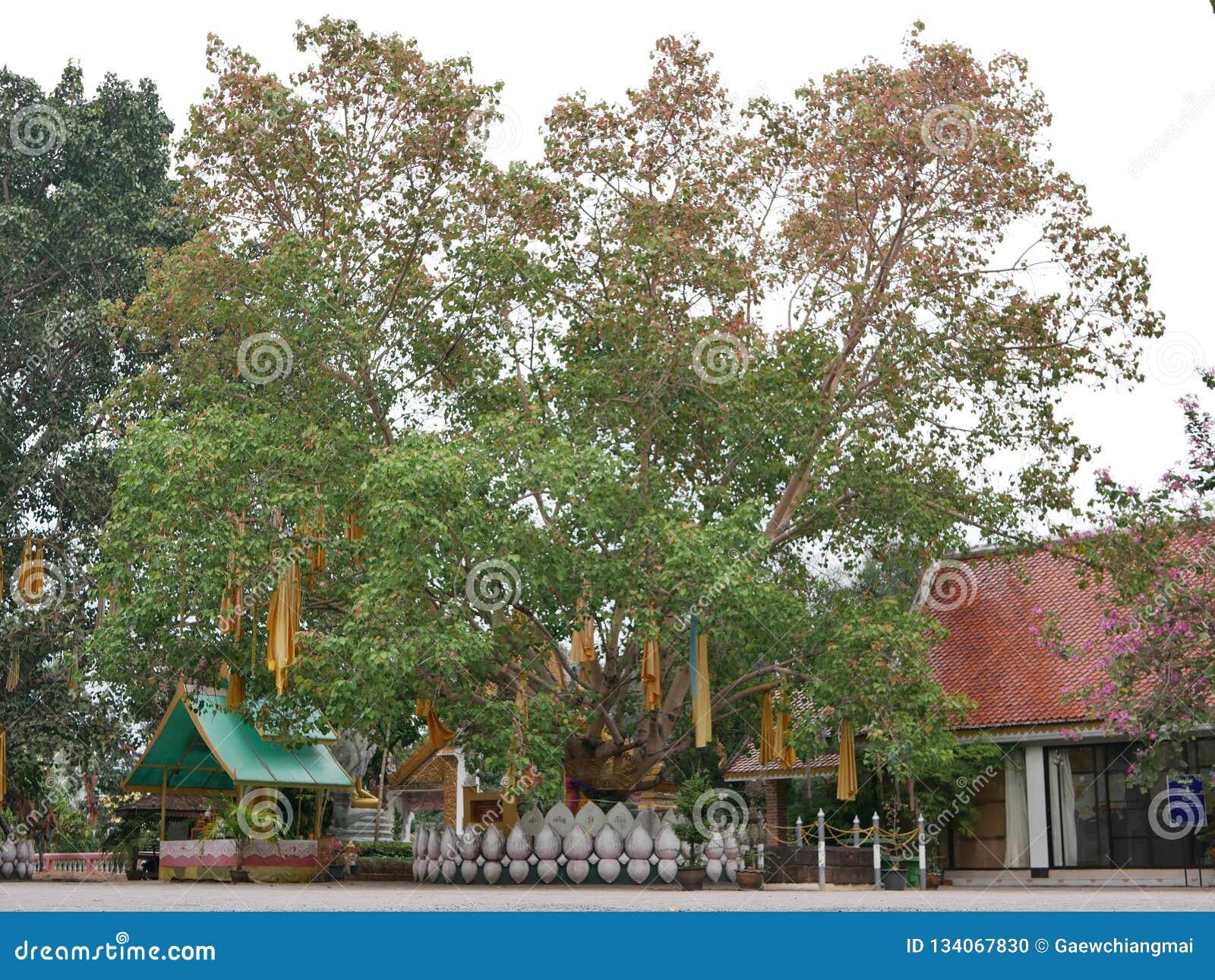 Grote Bodhi-boom in een Boeddhistische tempel met de robes van gele Boeddhistische monniken