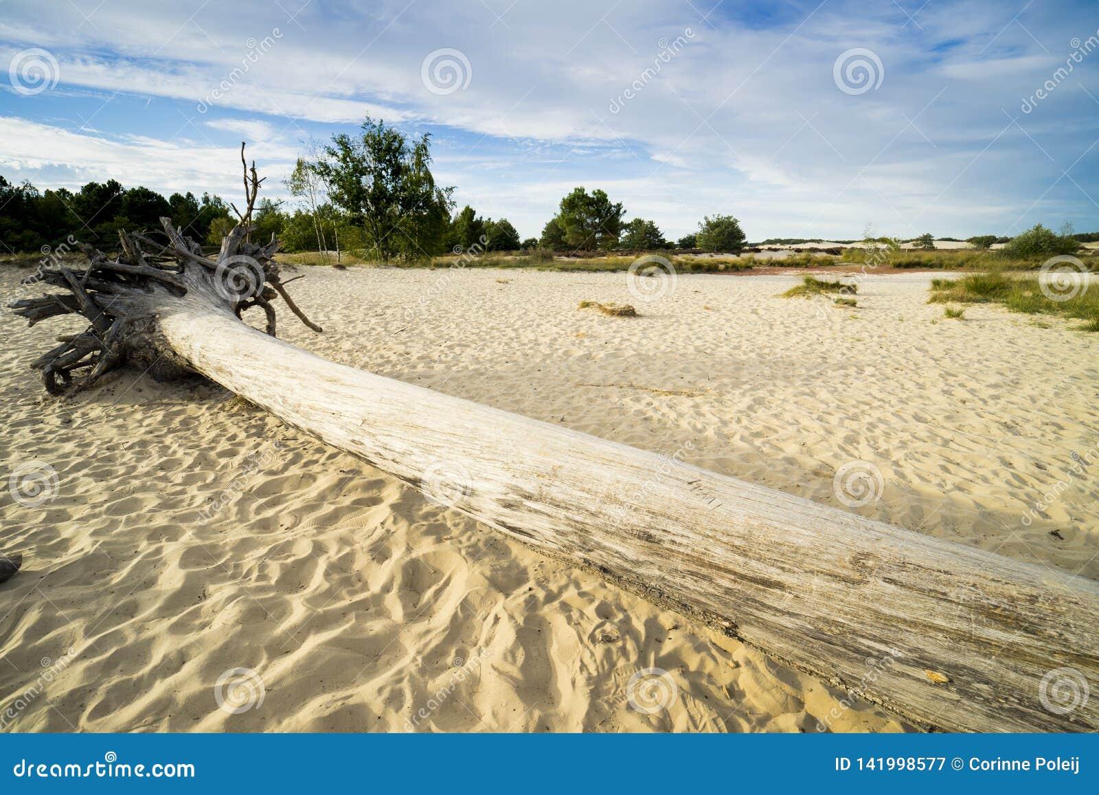 Grote boomboomstam in zand van nationaal park Loonse Engelse Drunense Duinen, Nederland