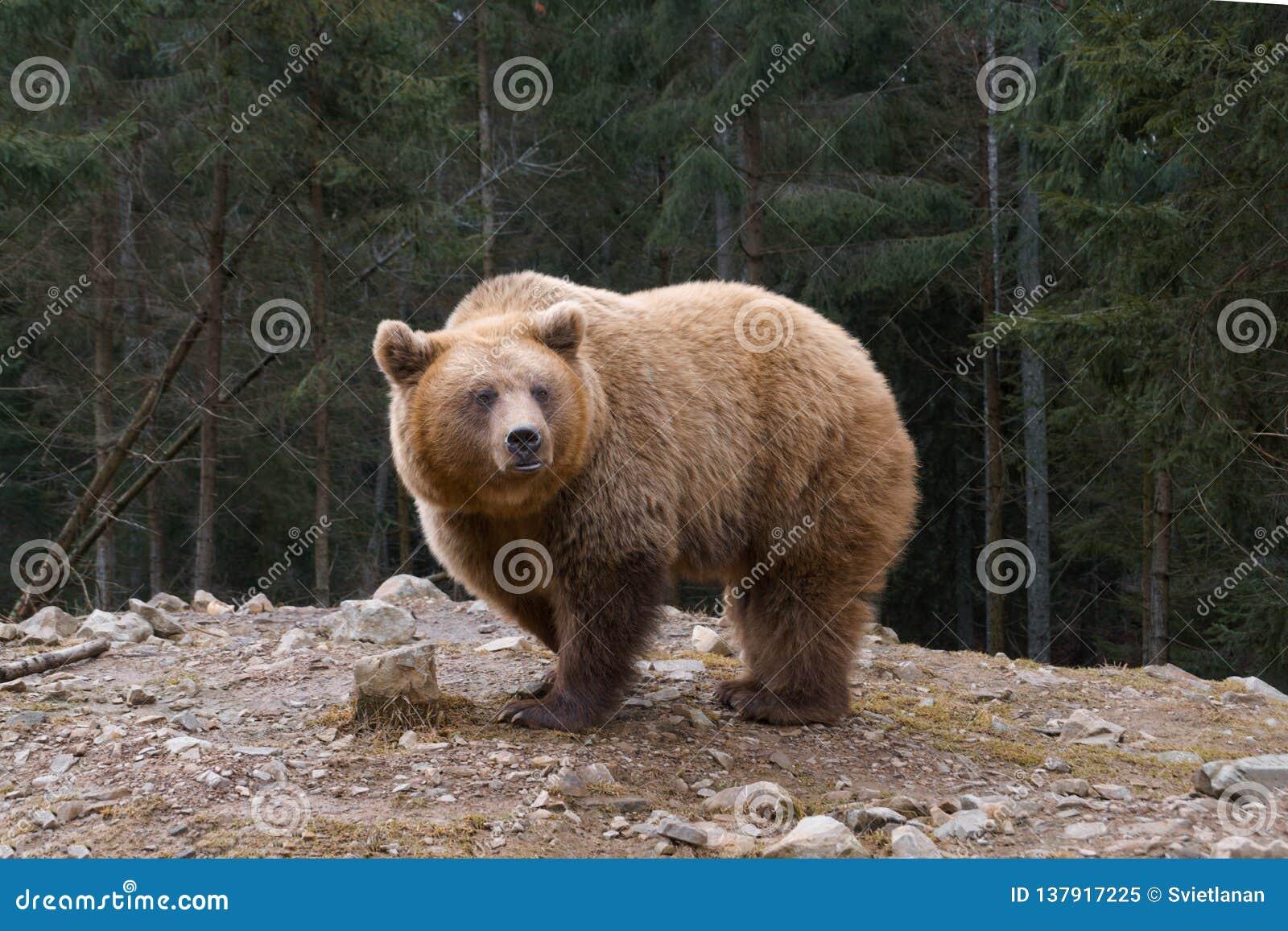 Grote bruin draagt in een rand van naaldbos