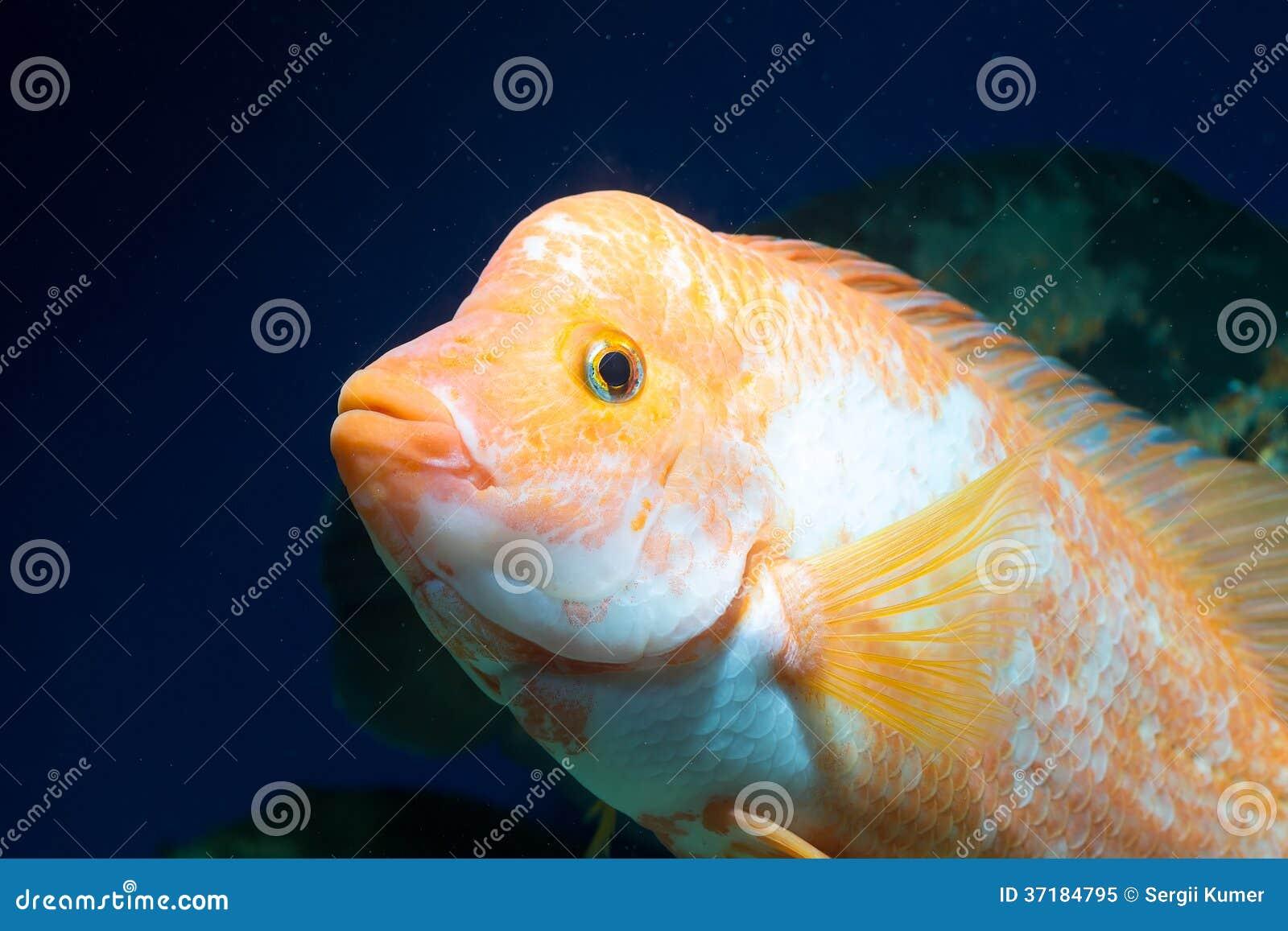 Grote Cichlids In Aquarium Royalty vrije Stock Foto   Afbeelding  37184795