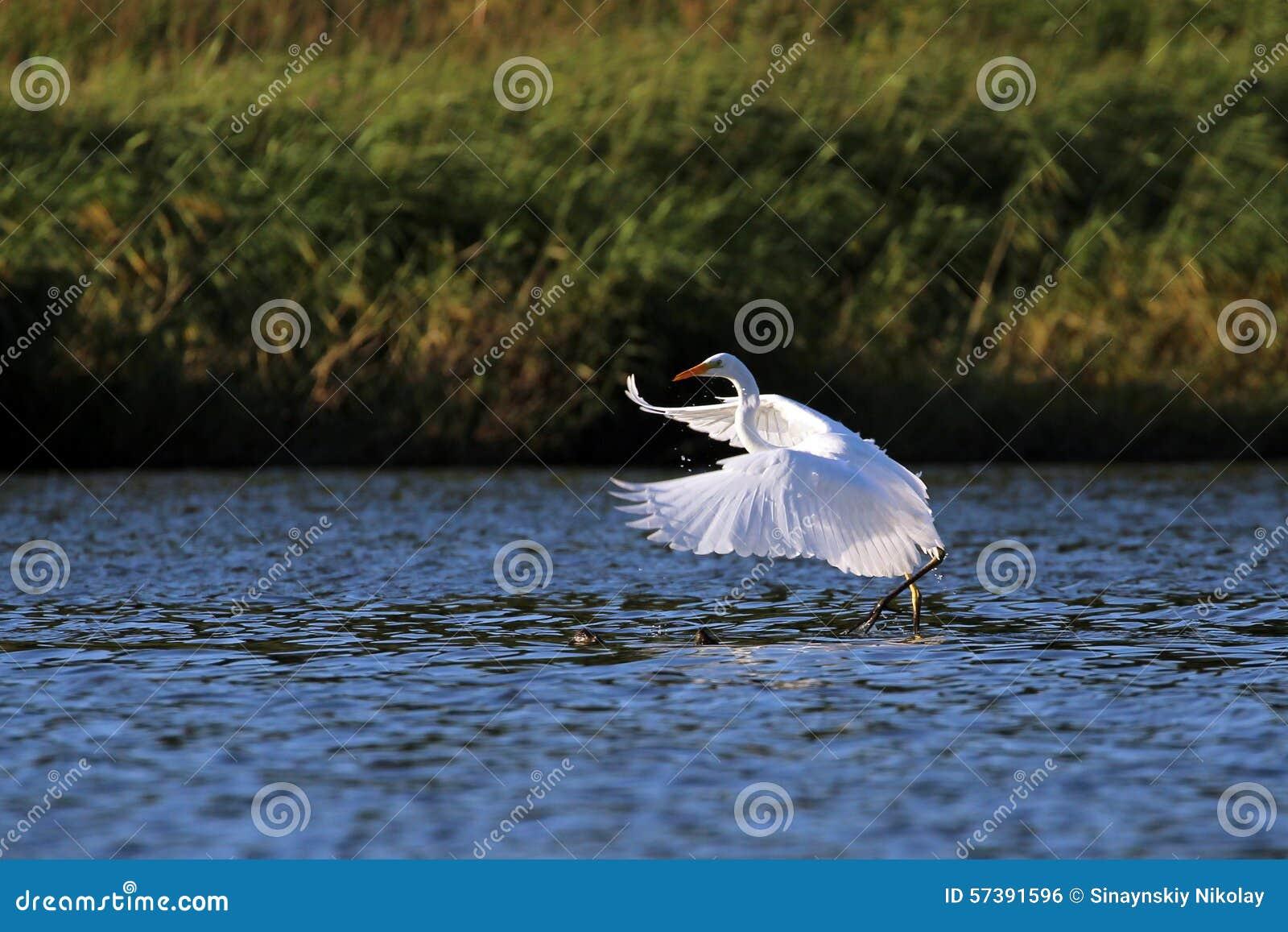Grote de dansvogels witte van de aigrette (alba Ardea) ochtend