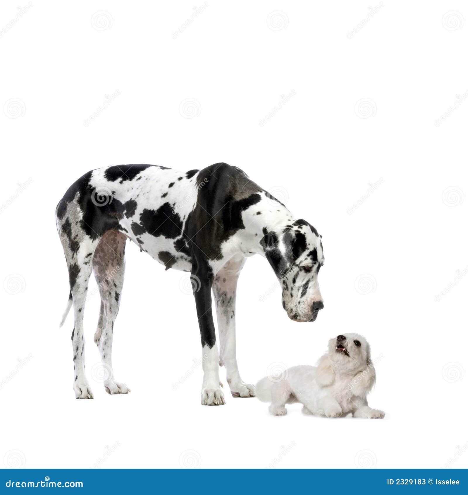 Grote Deen en Maltese hond
