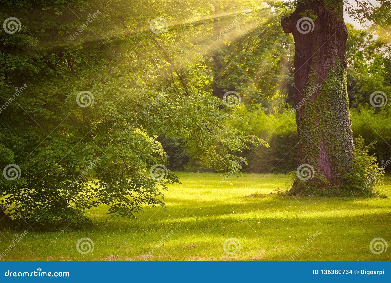 Grote eiken boomboomstam in het park met zonlicht en zonnestraal