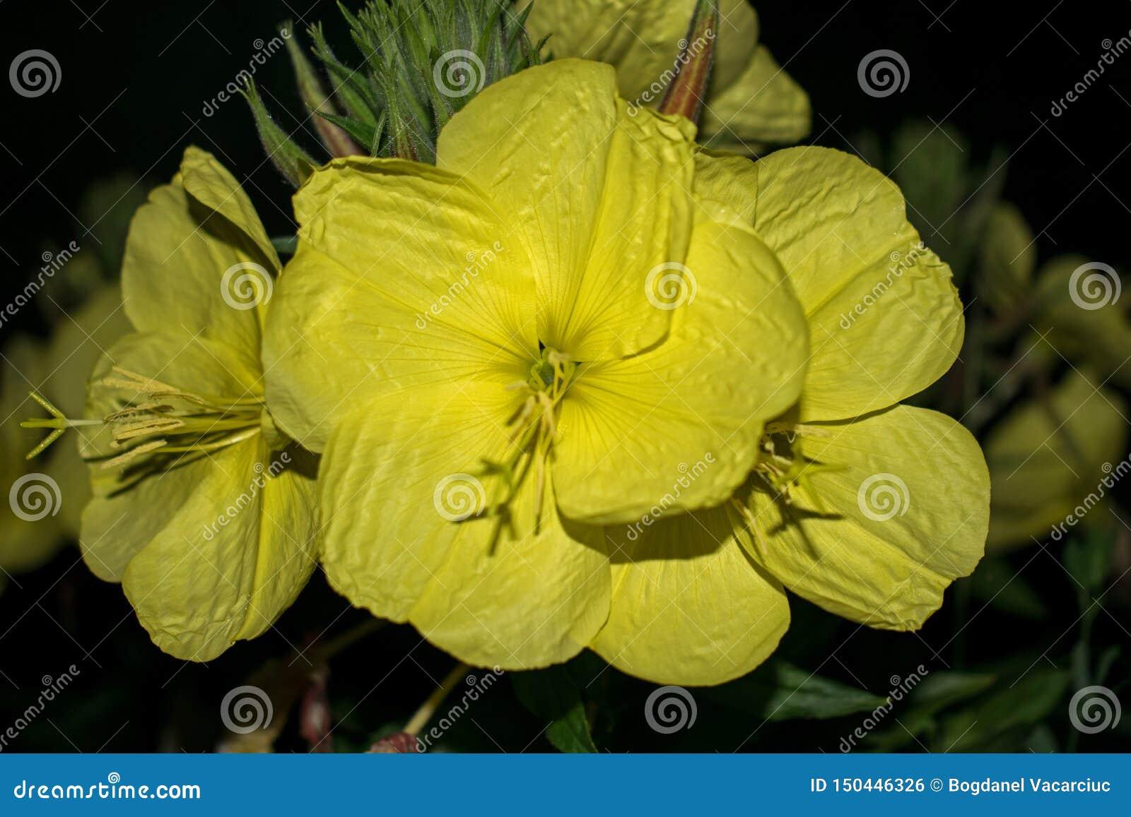 Grote gele bloem die slechts bij nacht bloeit Prinses van de nacht