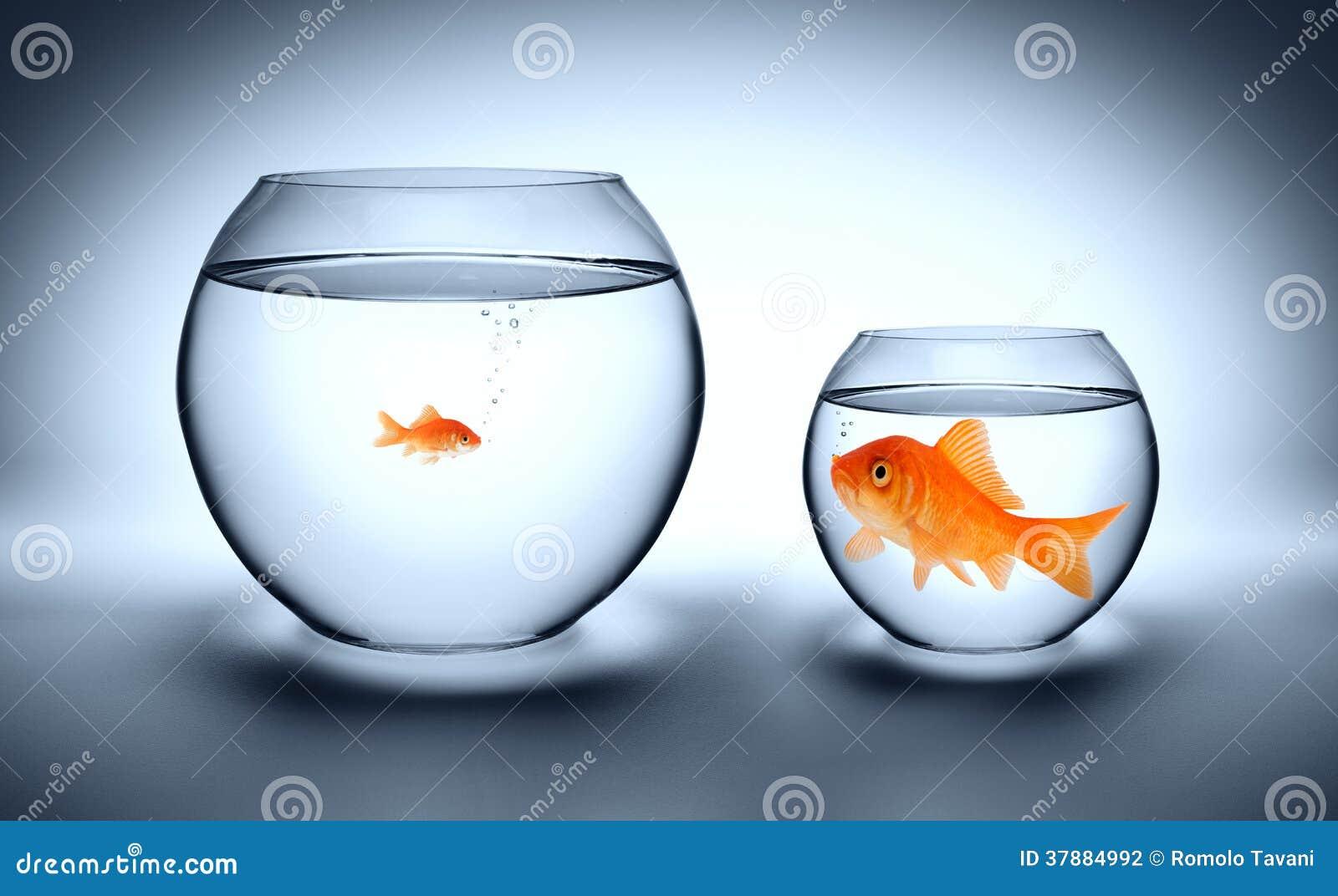 Grote Goudvis In Een Klein Aquarium Stock Fotografie   Afbeelding  37884992