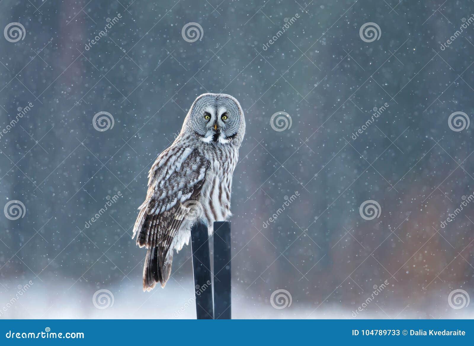 Grote grijze uilzitting op de post in de dalende sneeuw