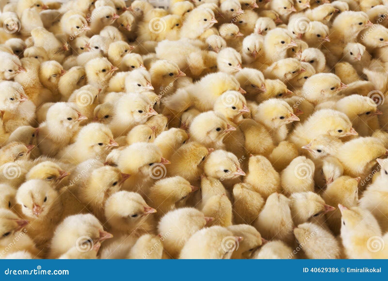 Grote groep babykuikens op kippenlandbouwbedrijf