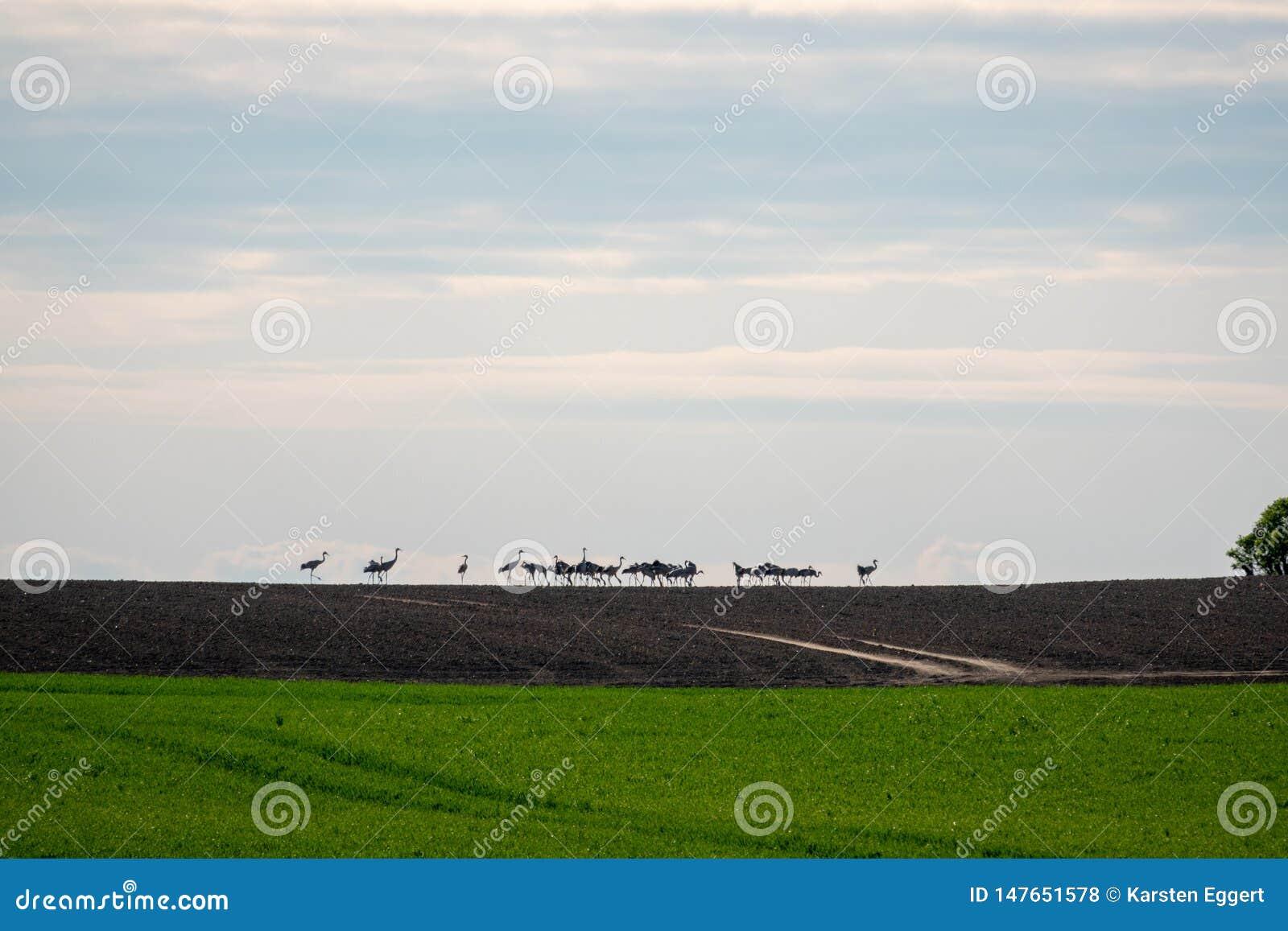 Grote groep kranen die zich op de horizon op een gebied bevinden