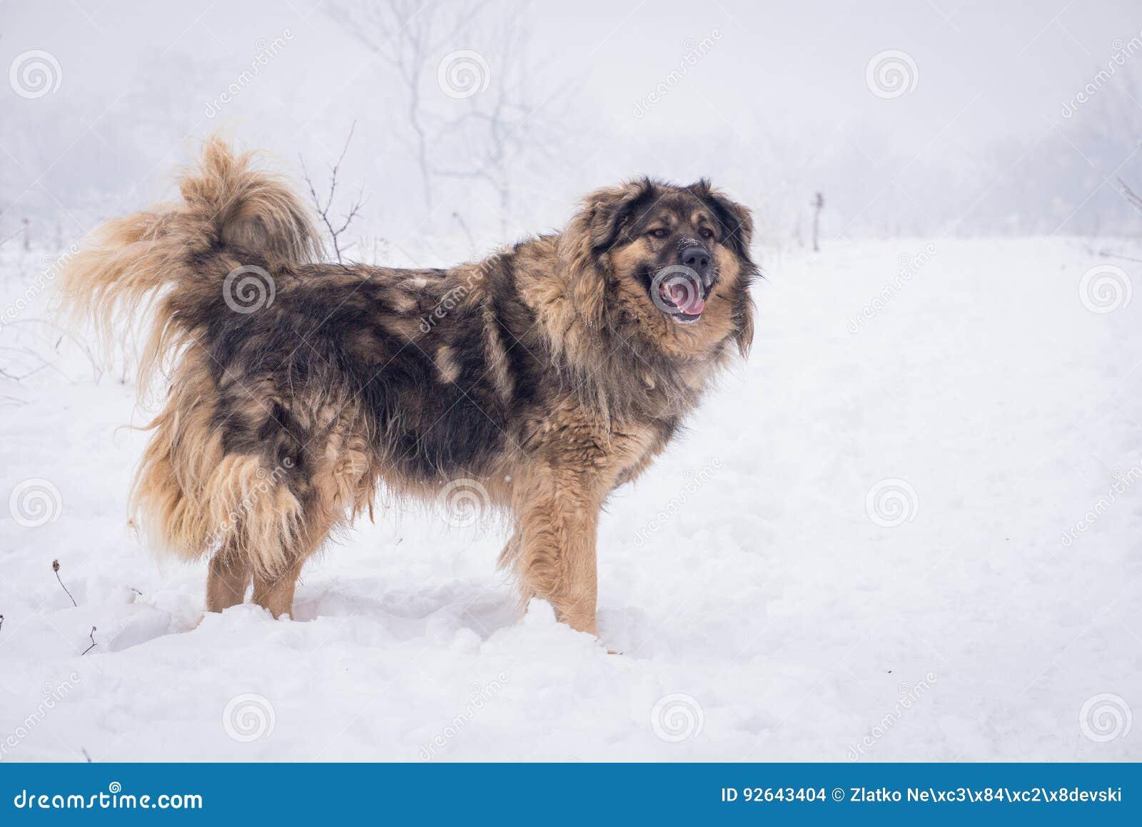 Grote herdershond in de sneeuw