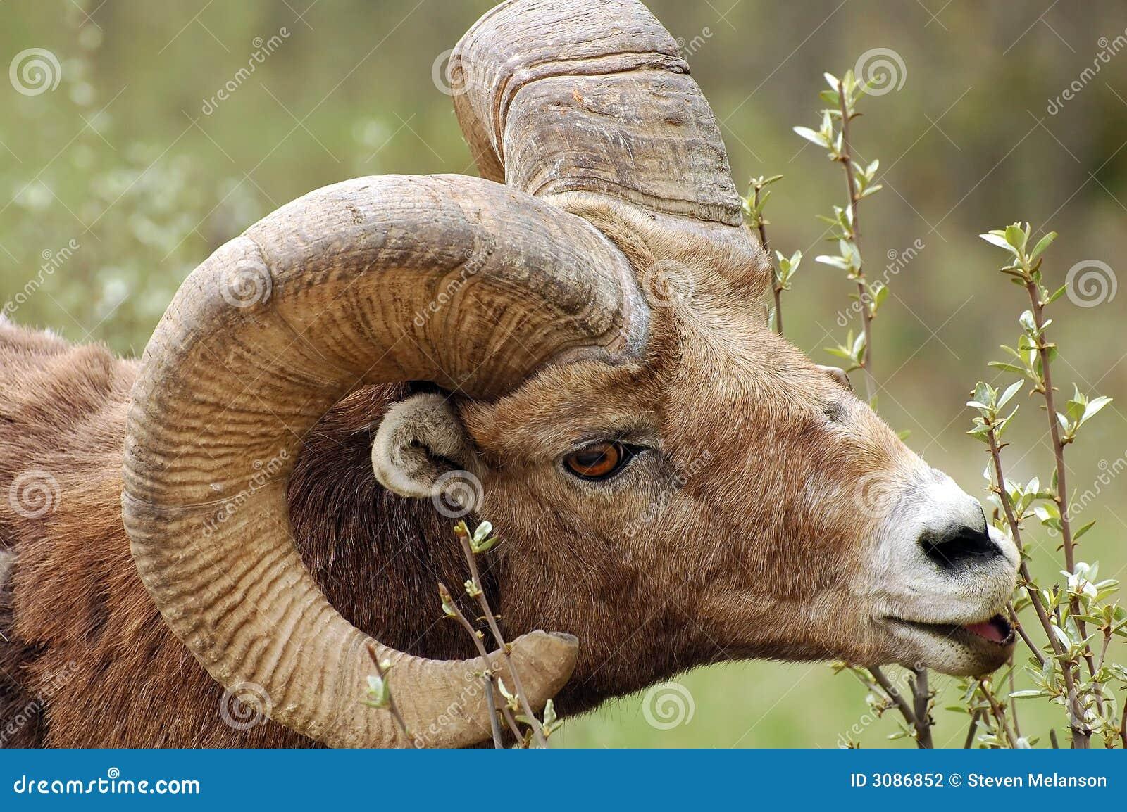 Grote hoornSchapen
