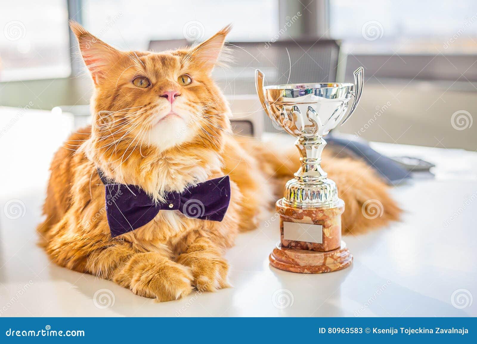 Grote Kampioen Rode Maine Coon Cat die op de Witte Lijst met Zijn Gouden Trofee liggen