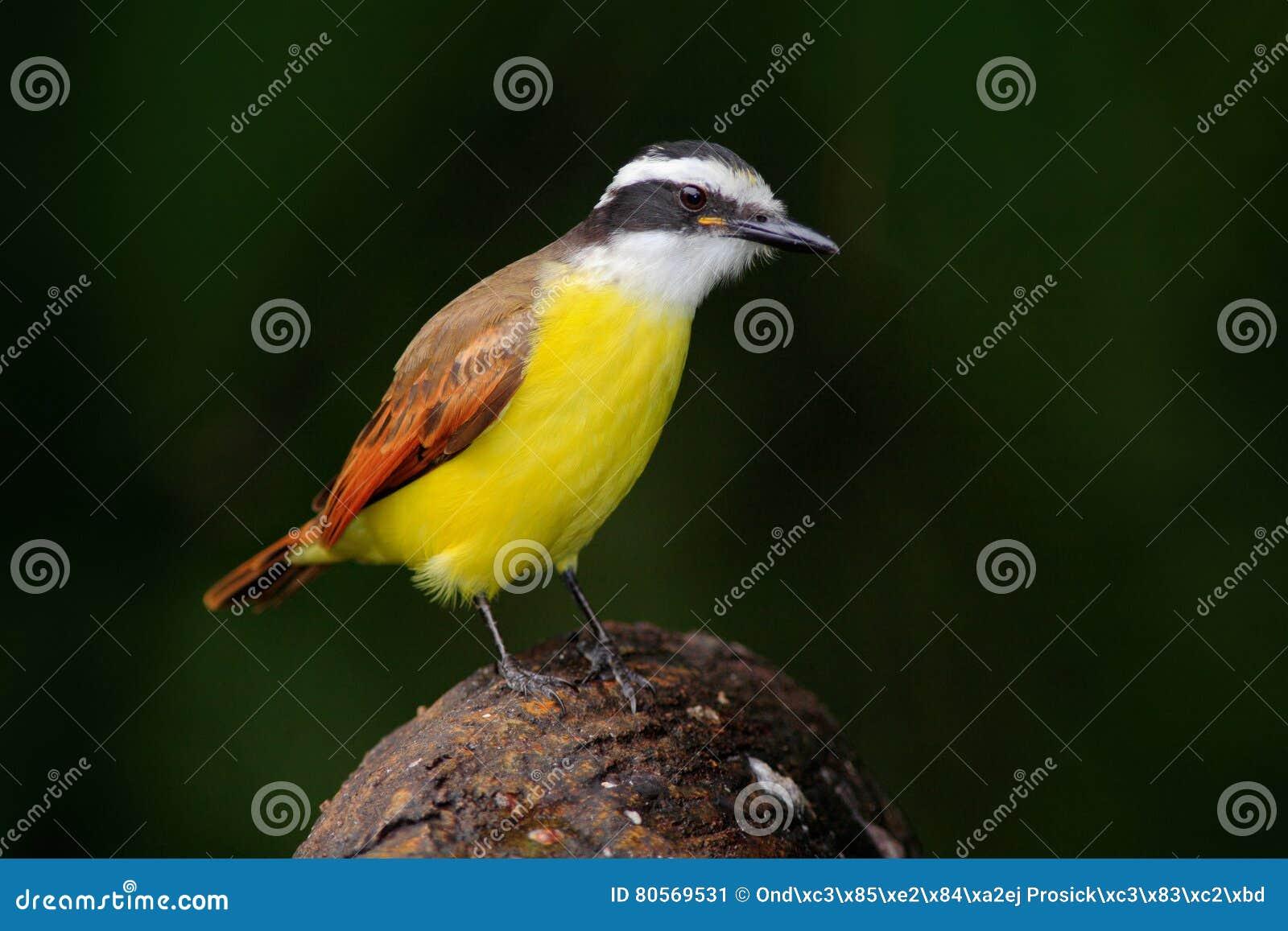 grote kiskadee pitangus sulphuratus vogel van costa rica exotische tropische gele tanager met. Black Bedroom Furniture Sets. Home Design Ideas