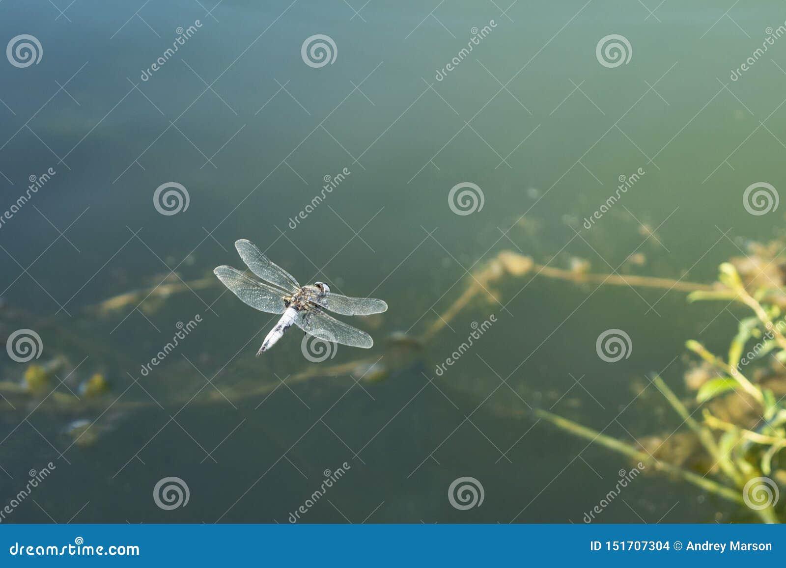 Grote libel in hangende vlucht over water Sluit omhoog