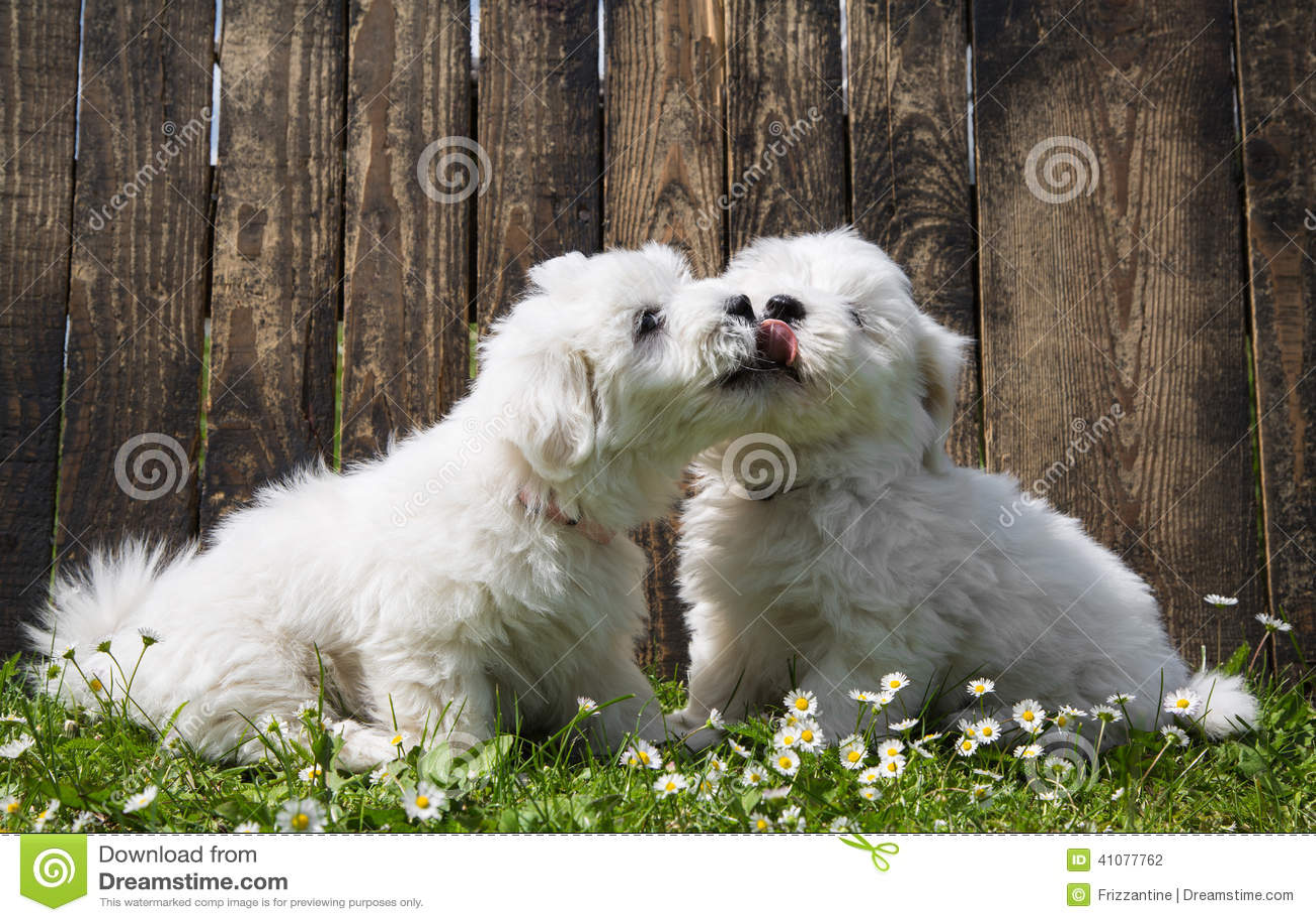 Grote liefde: twee babyhonden - de Katoenen puppy die van DE Tulear - kussen