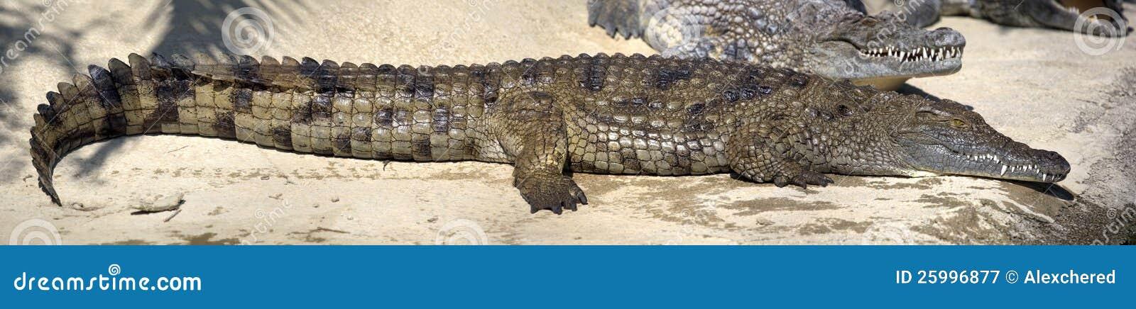 Grote natte krokodil