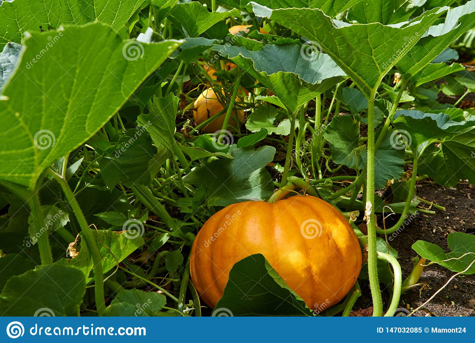 Grote oranje Pompoen