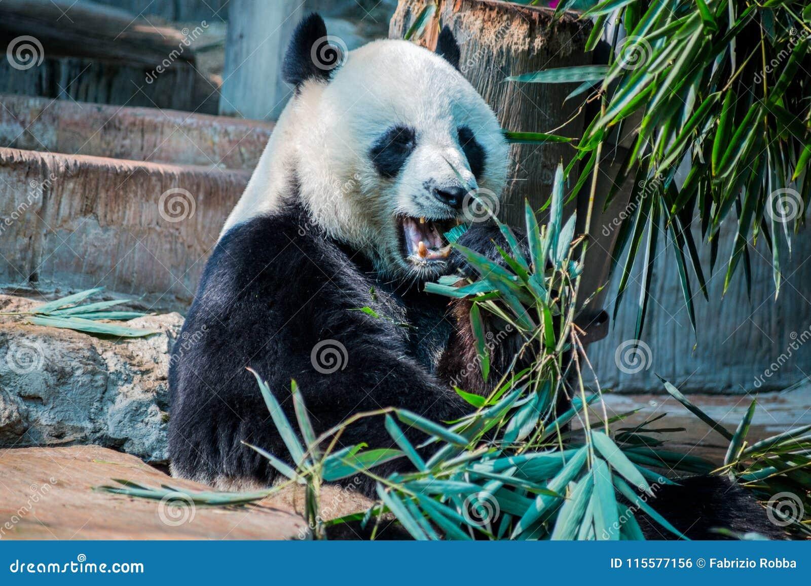 Grote panda die in Chiang Mai Zoo, Thailand eten