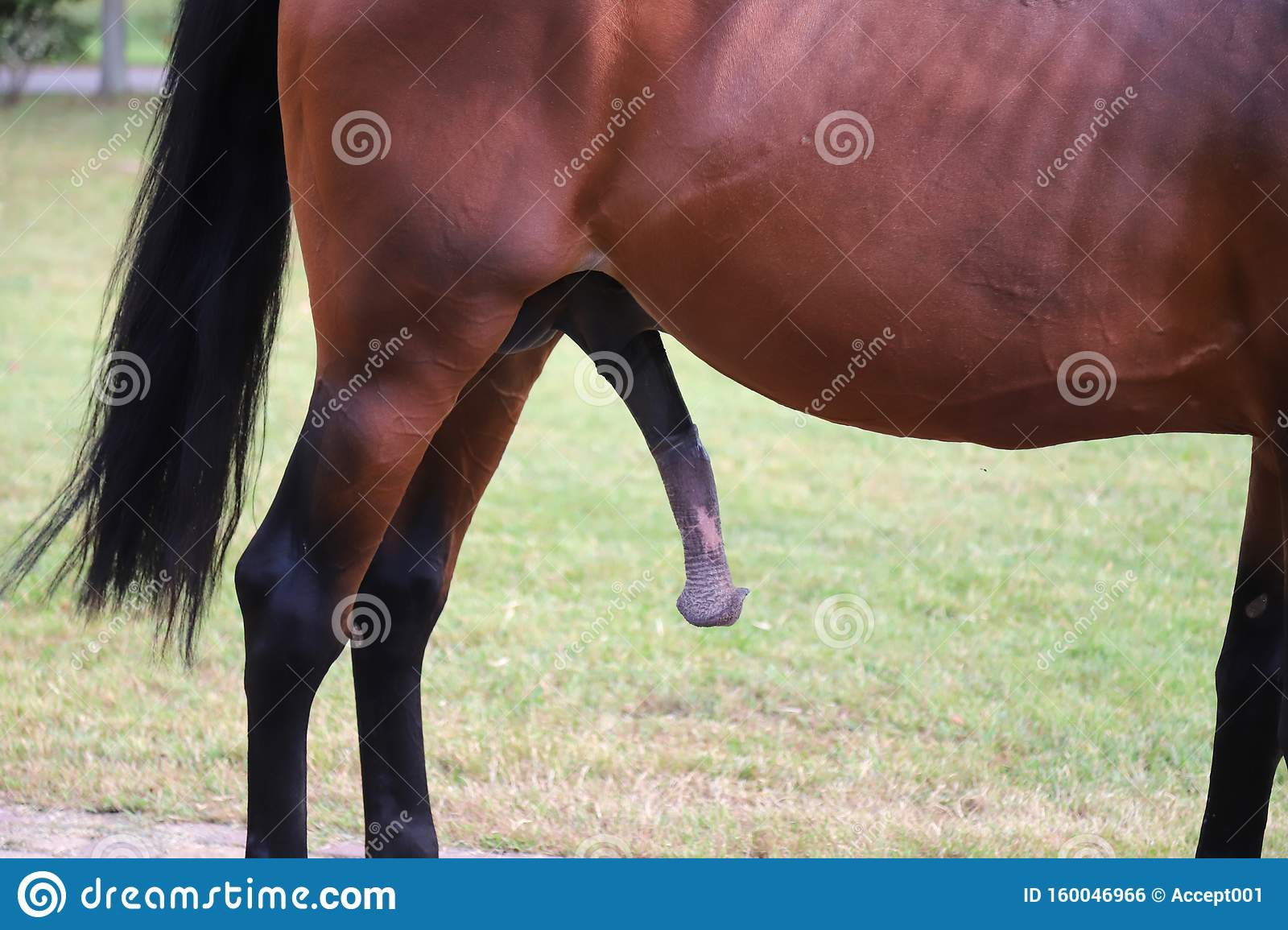 Hengst penis Category:Horses with