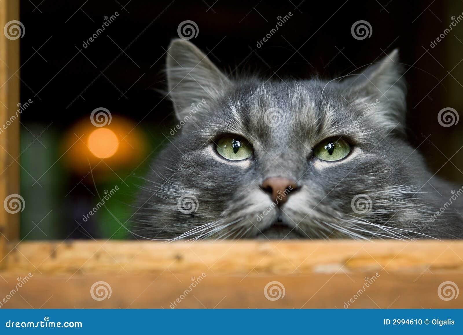 Grote pluizige grijze kat