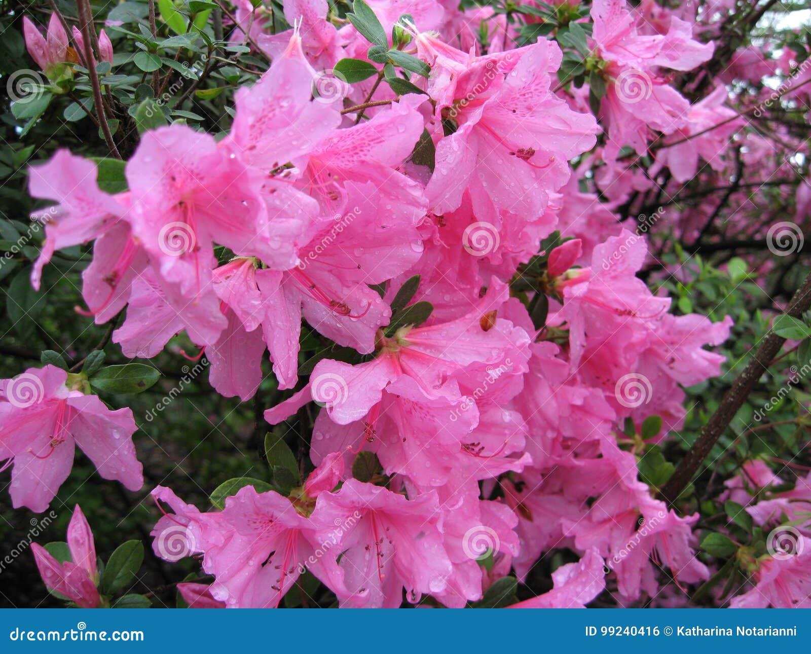 Grote Roze Azalea Flowering Shrub