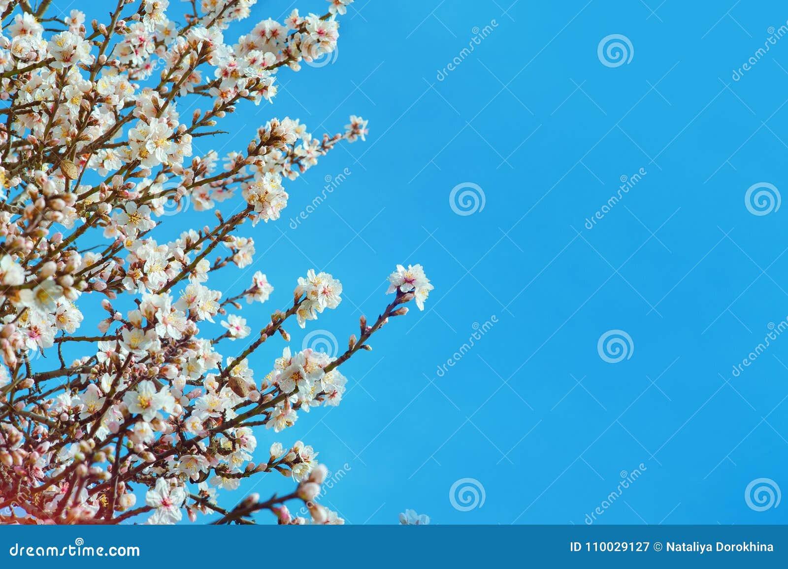 Grote textuur van amandelen roze bloemen op blauwe hemelachtergrond, met ondiepe diepte van gebied en selectieve nadruk op bloeme