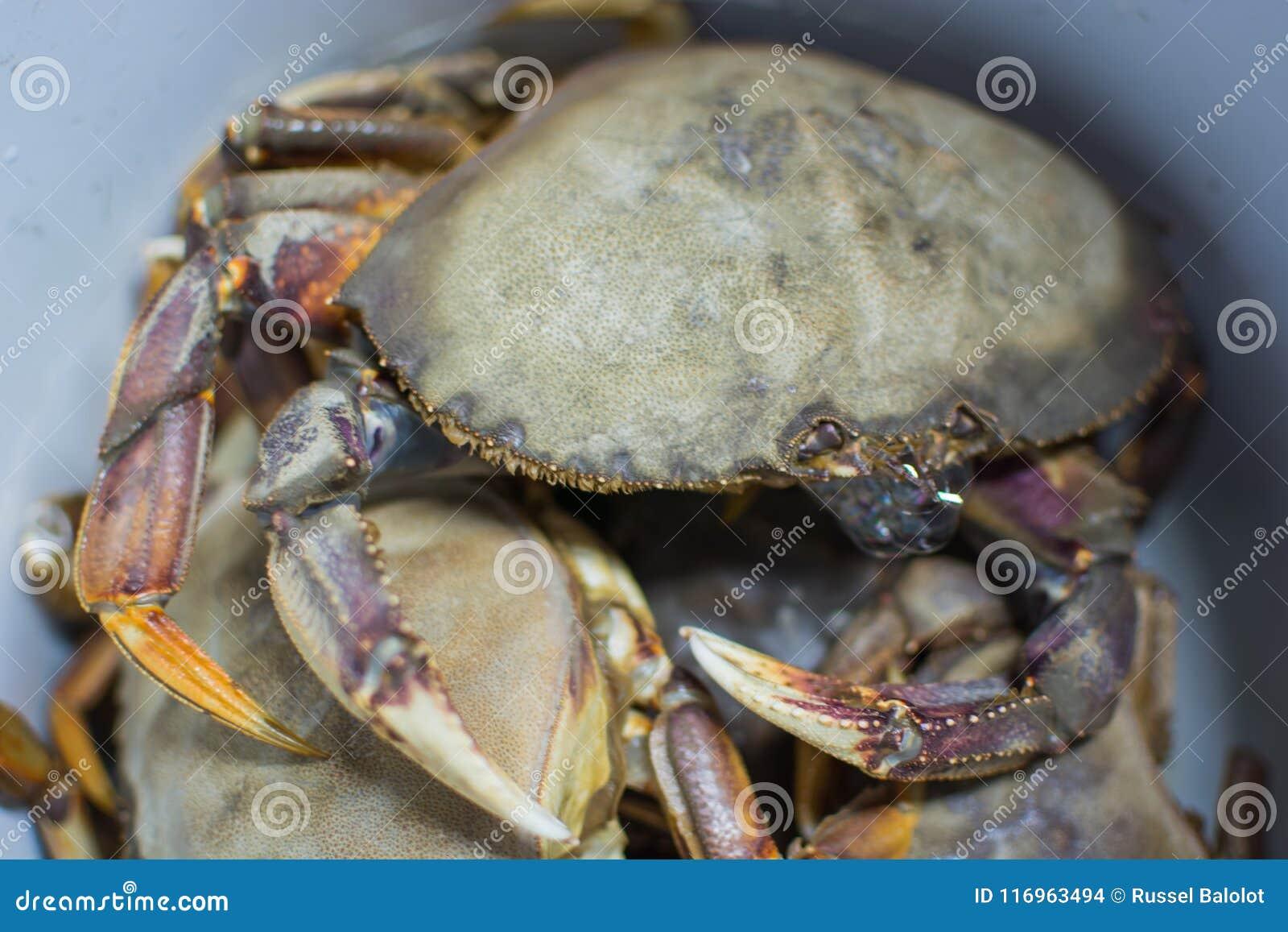Grote verse krab