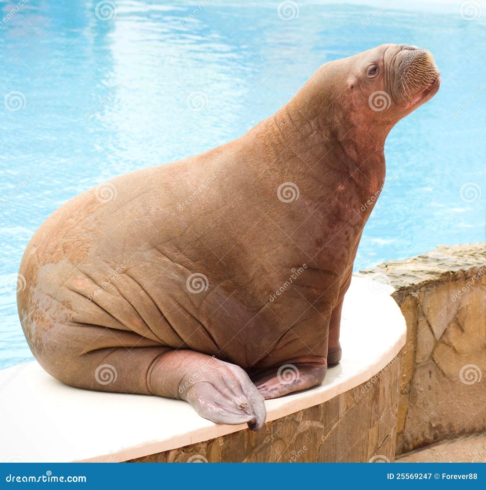 Grote Walrussen