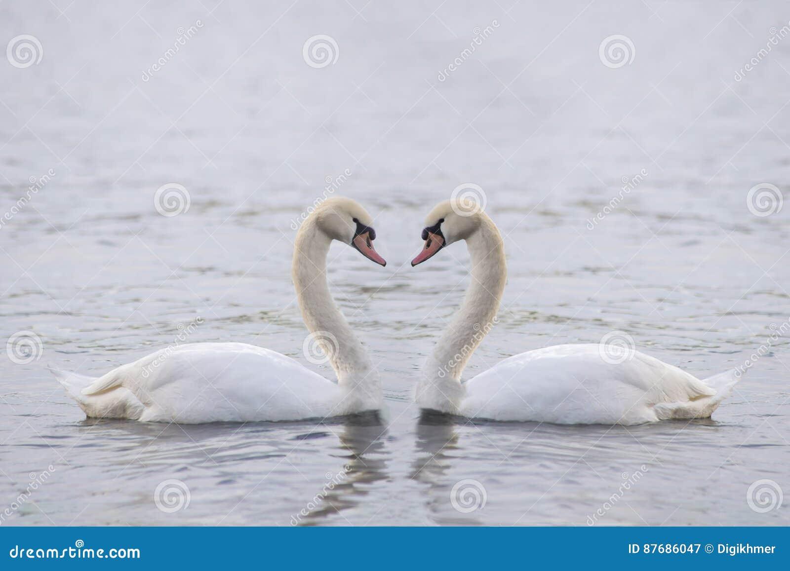 Grote witte zwaan twee op het water