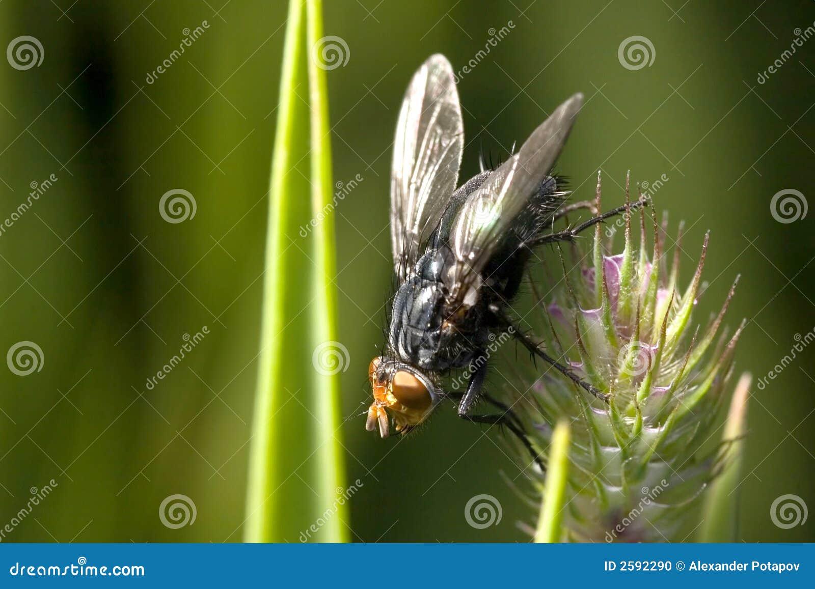 Grote zwarte vlieg