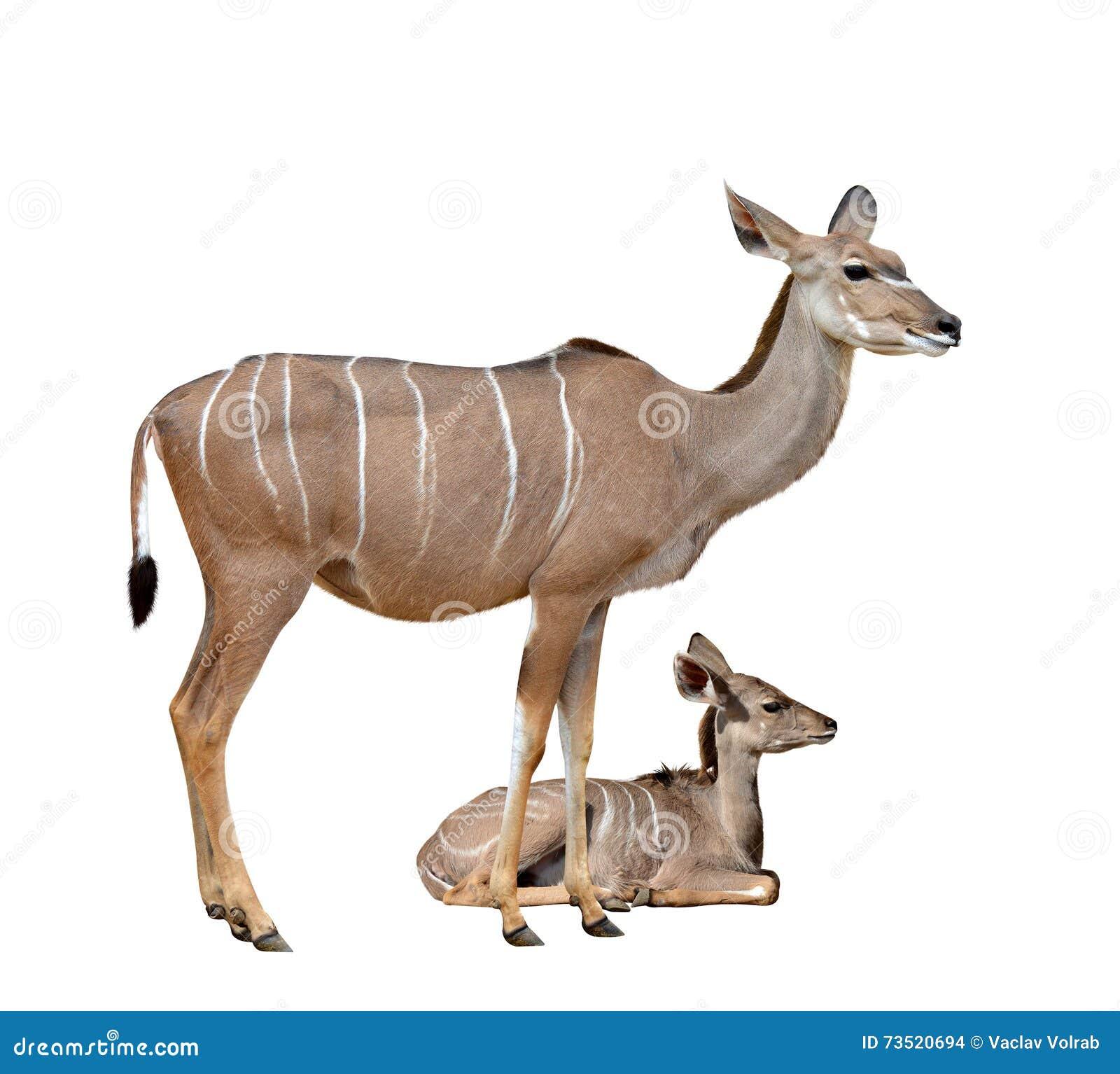 Grotere Kudu