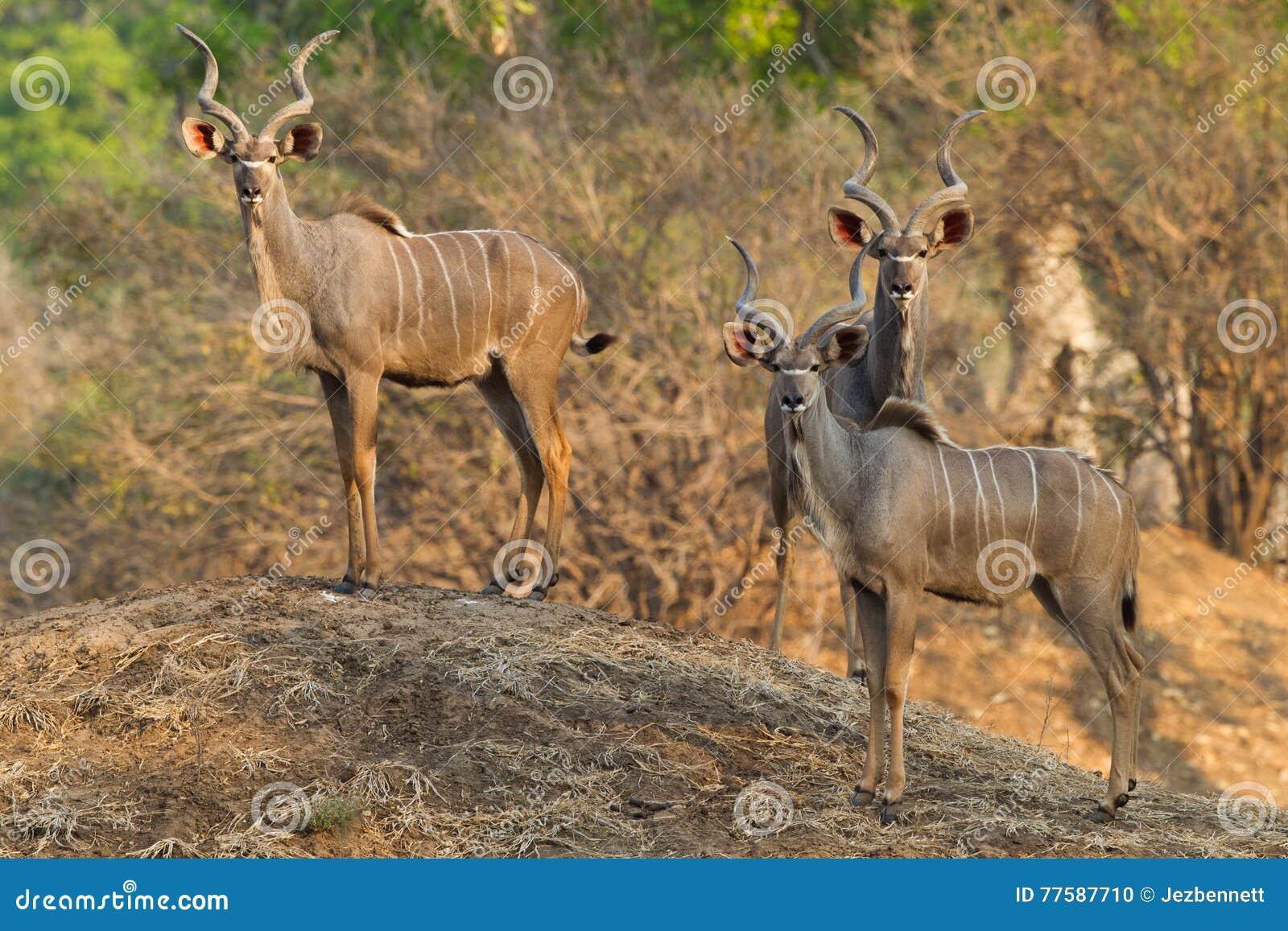 Grotere Kudu-stieren die zich op termiethoop bevinden