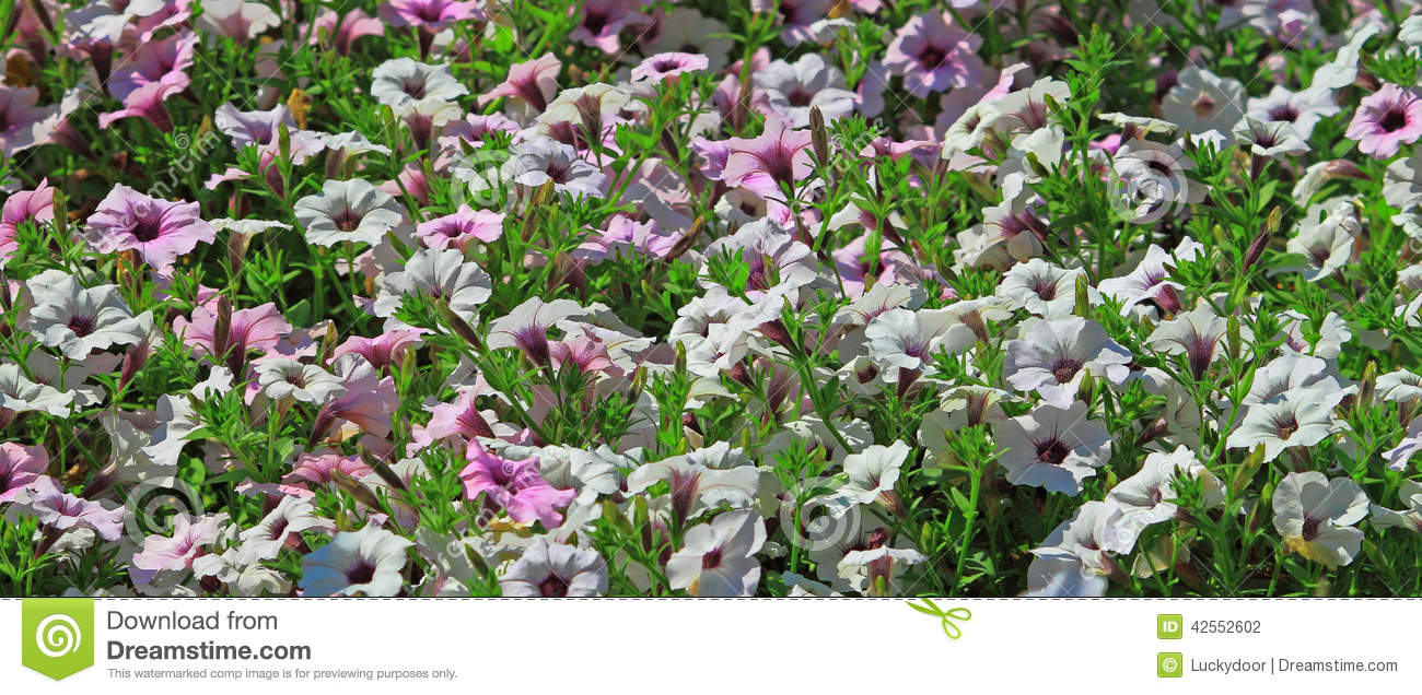 Annuals flowers stock photo image of petals color plants 42552602 annuals flowers in summer gardens izmirmasajfo