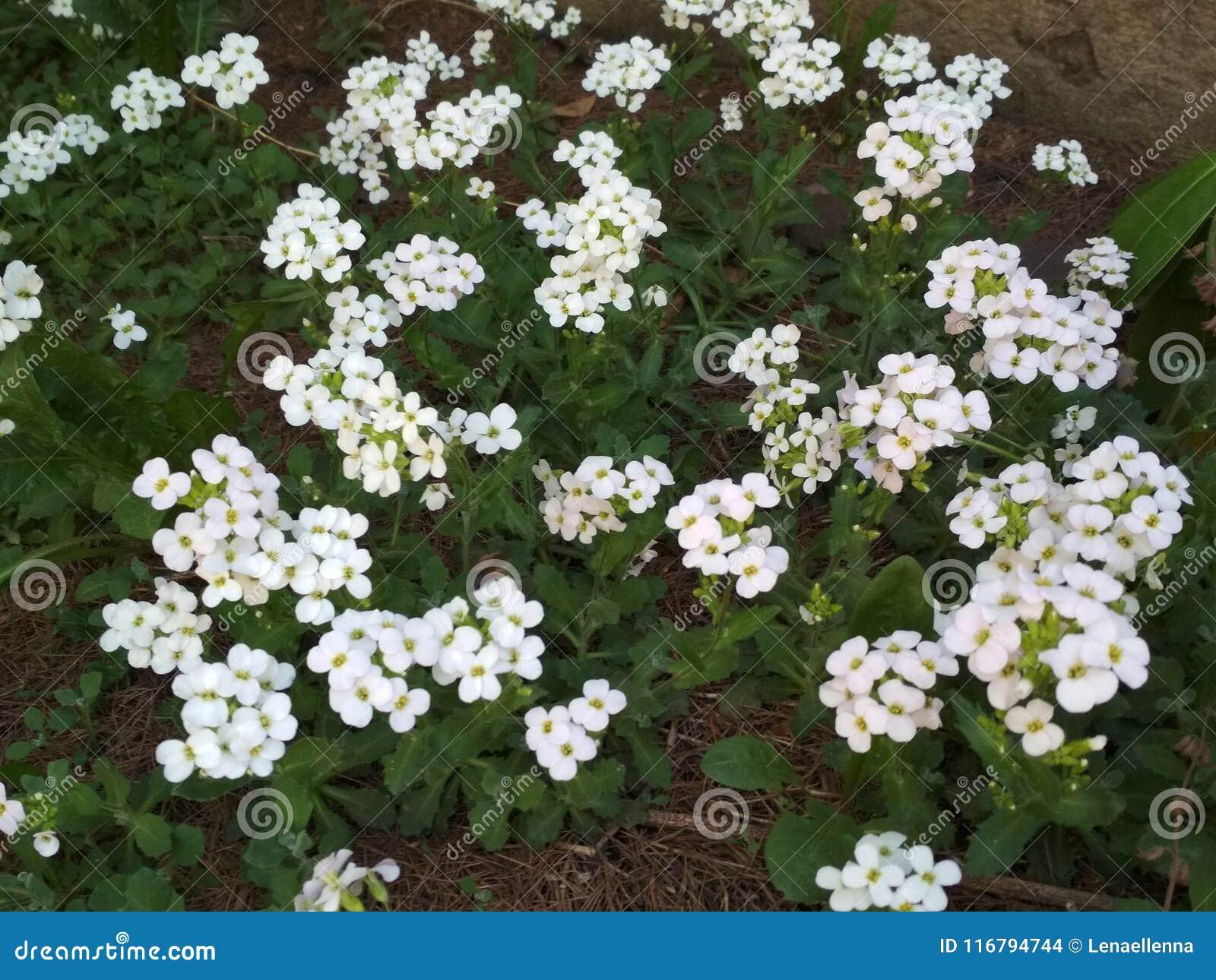 White Flowers Cerastium Biebersteinii In The Spring Garden In May