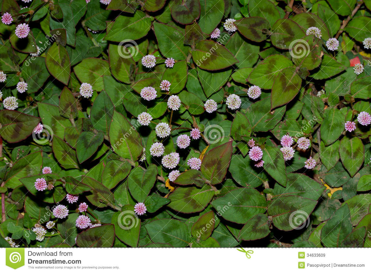 ground cover plant royalty free stock images image 34633609