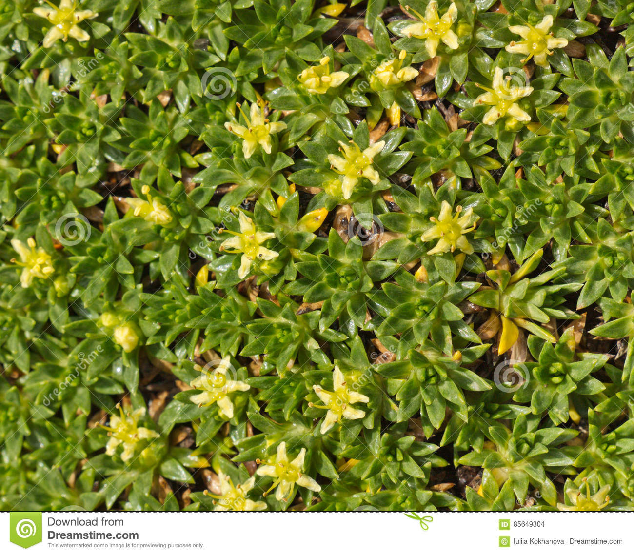 Ground cover plant with small yellow flowers close up stock photo ground cover plant with small yellow flowers close up mightylinksfo
