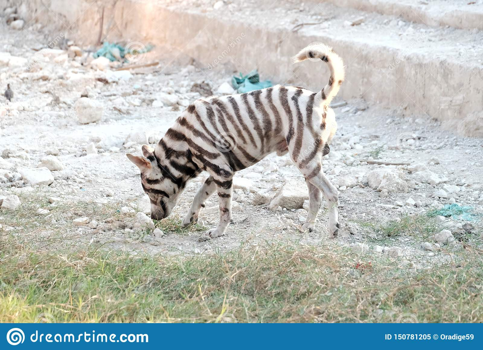 Homeless dog with a zebra pattern on skin standing