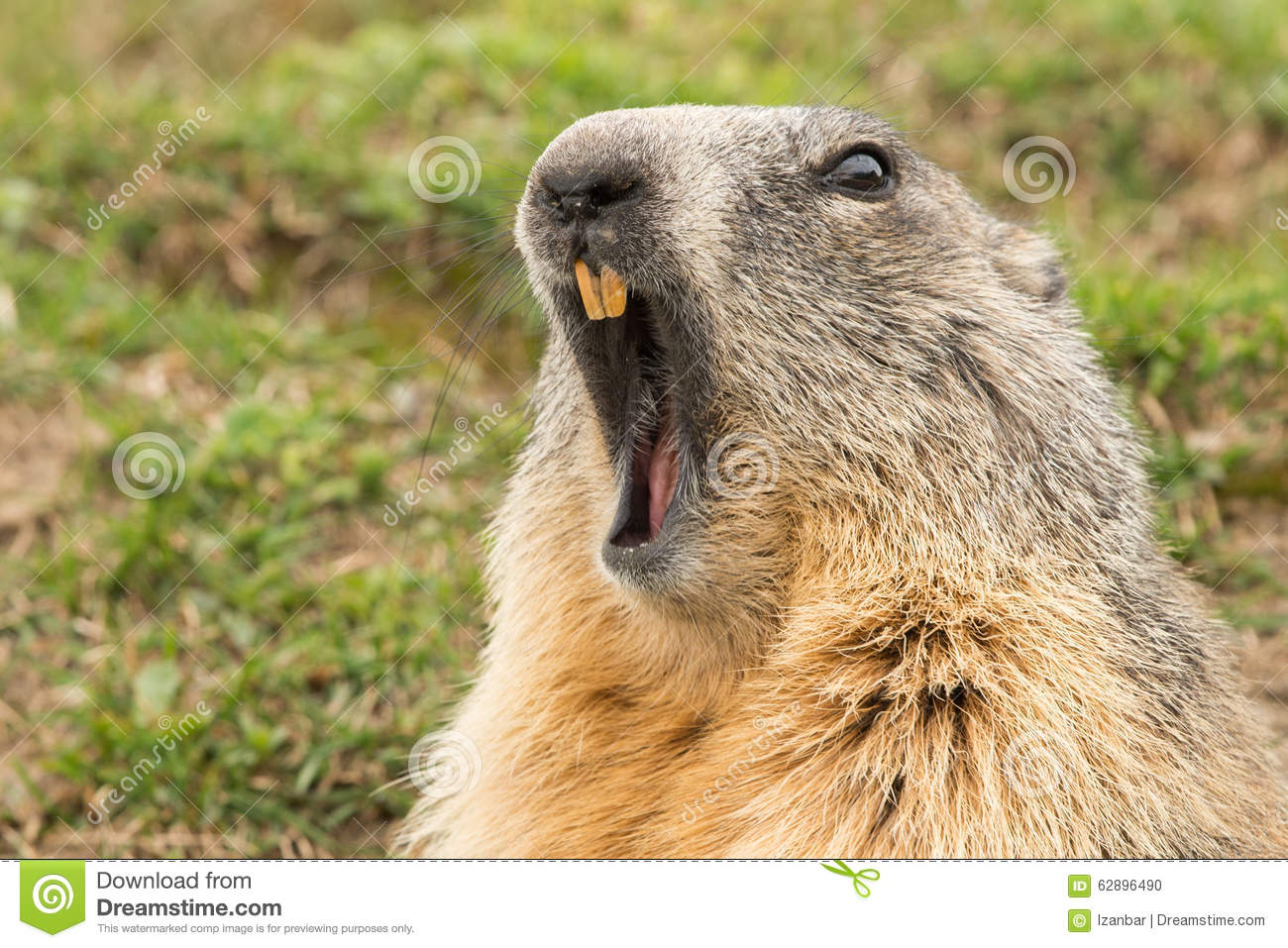 Ground hog marmot day portrait