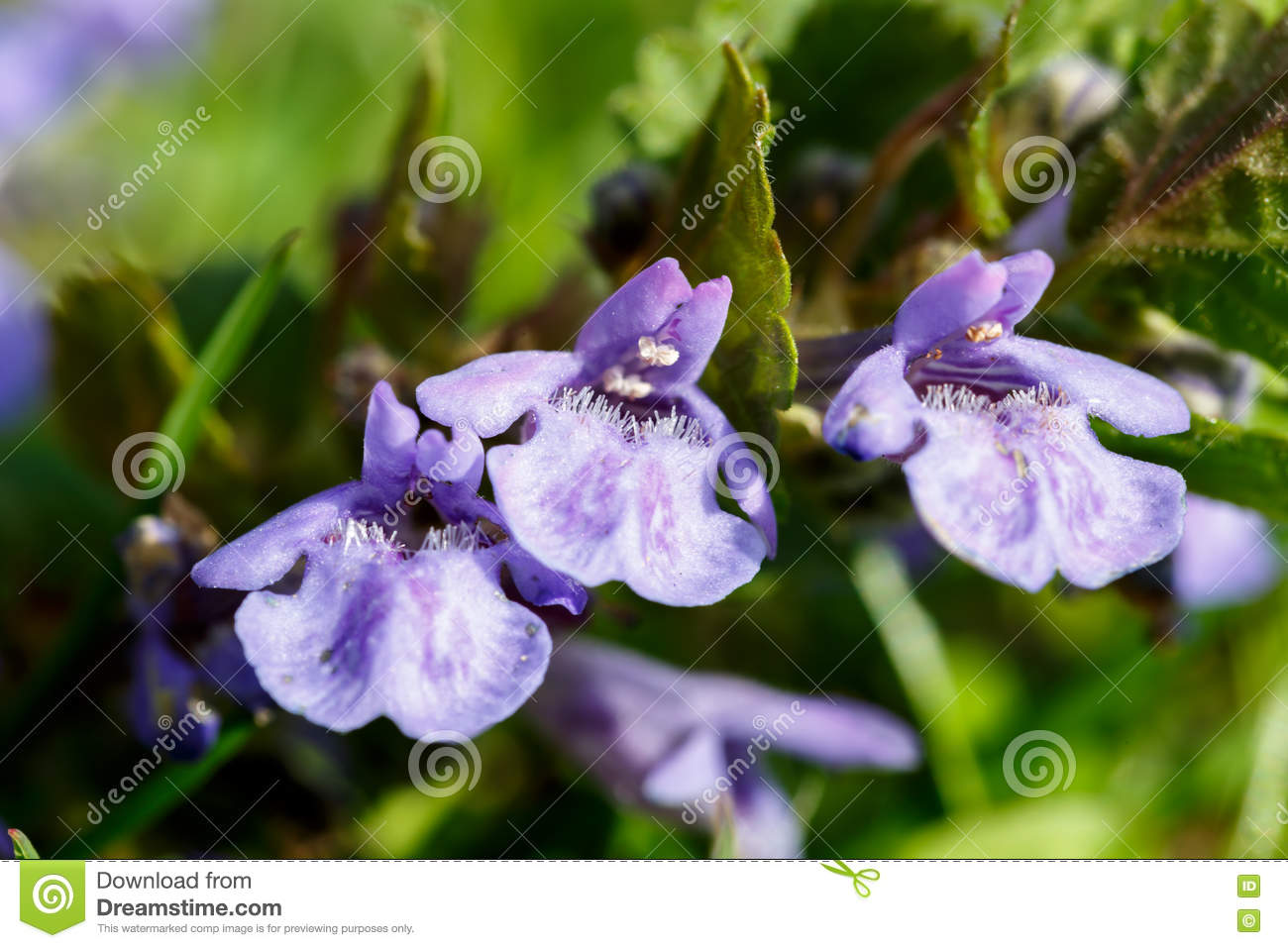 Ground ivy flower stock photo image of blue freshness 70510112 download ground ivy flower stock photo image of blue freshness 70510112 izmirmasajfo