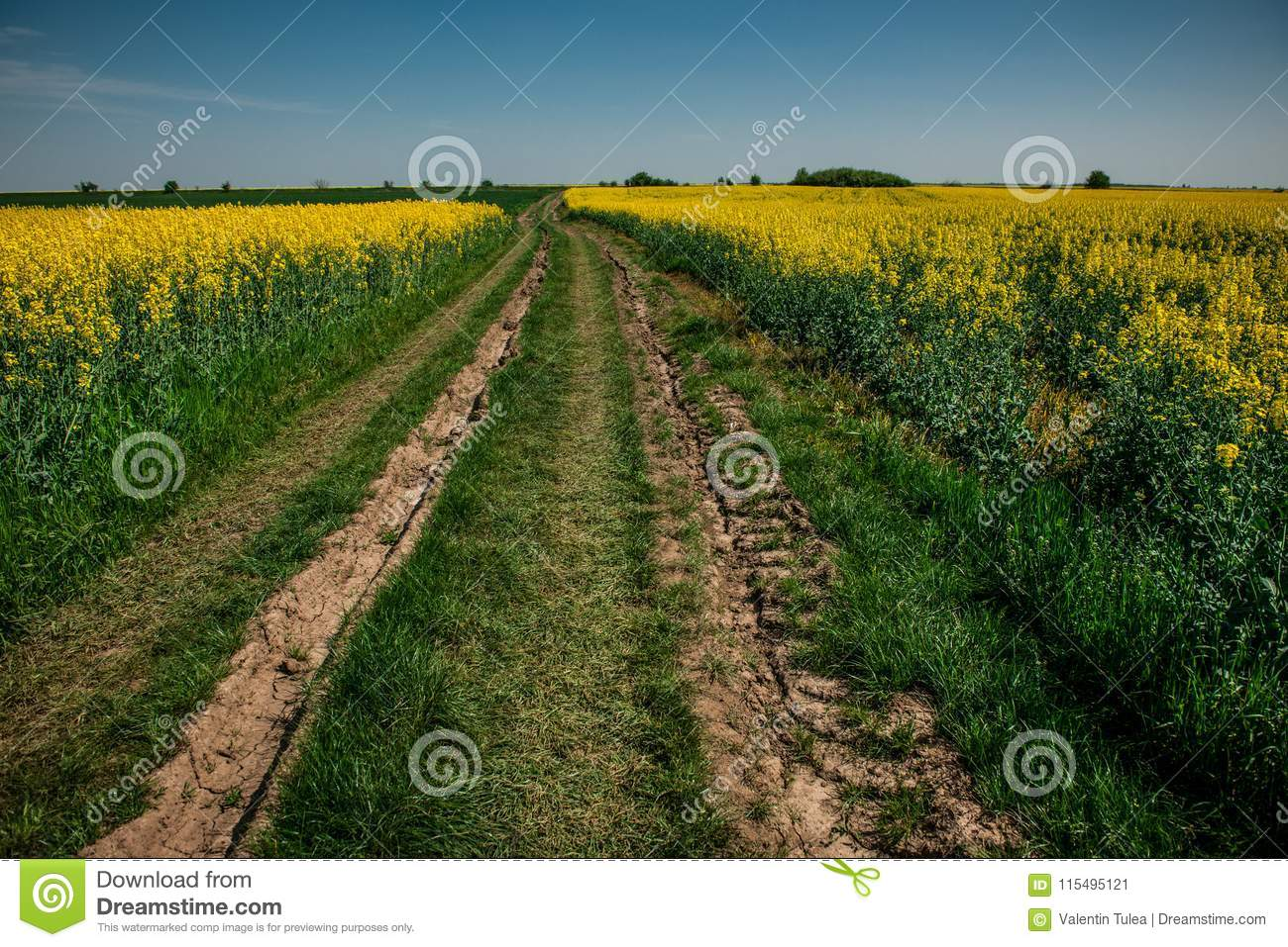 Ground road in yellow flower field with sun, beautiful spring landscape, bright sunny day, rapeseed