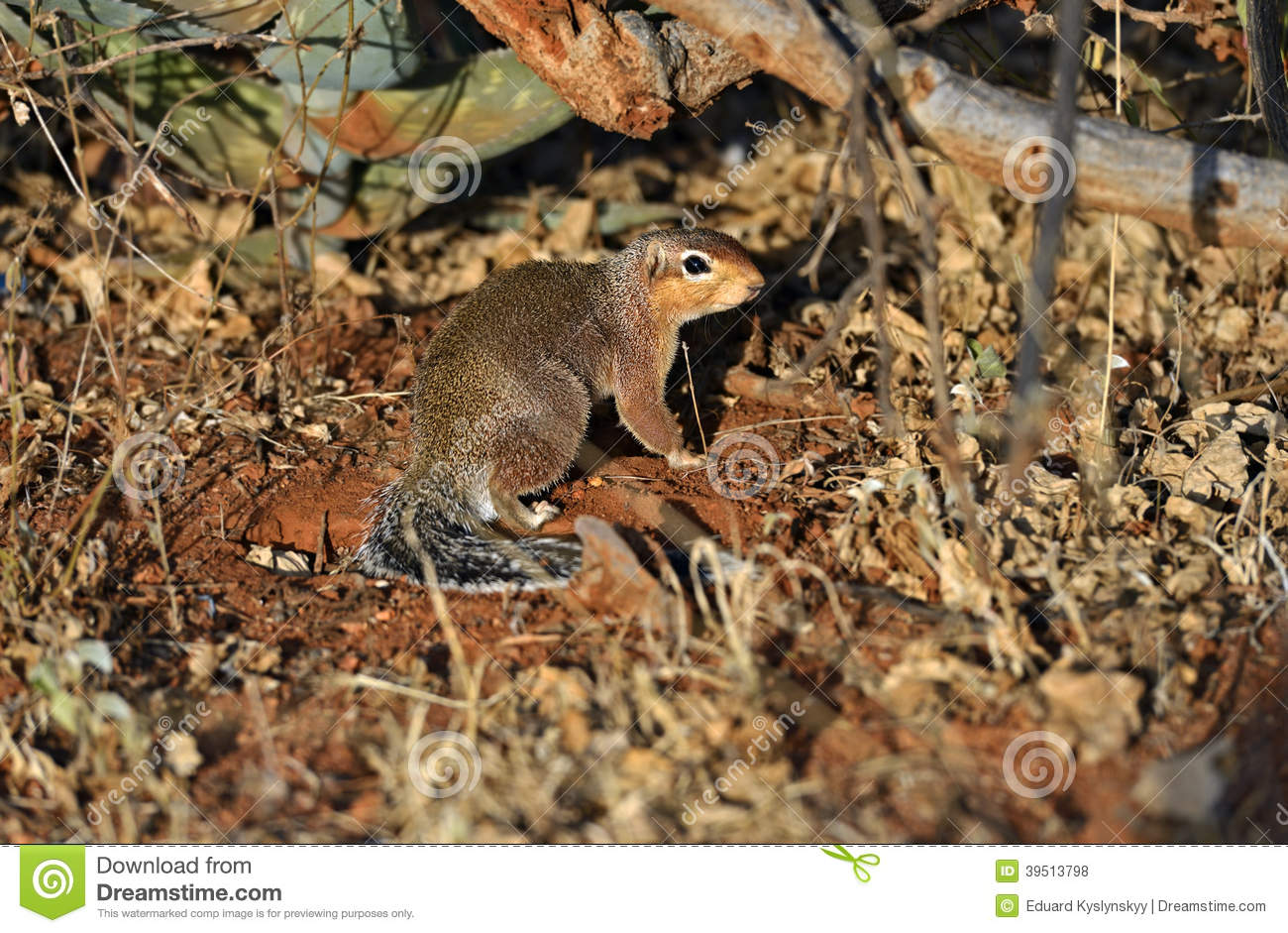 Ground Squirre