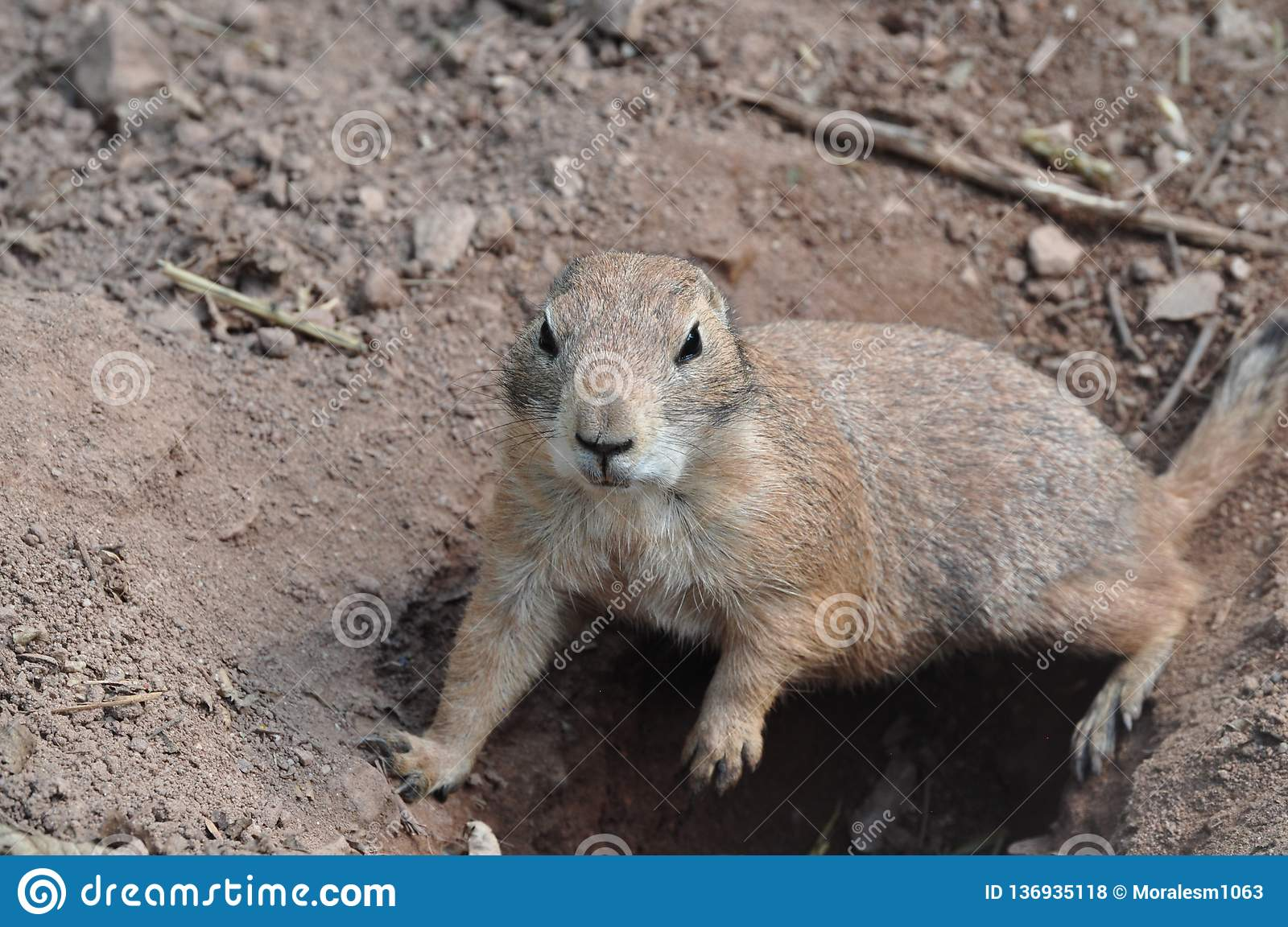 Ground squirrel digging a hole, Animal wildlife