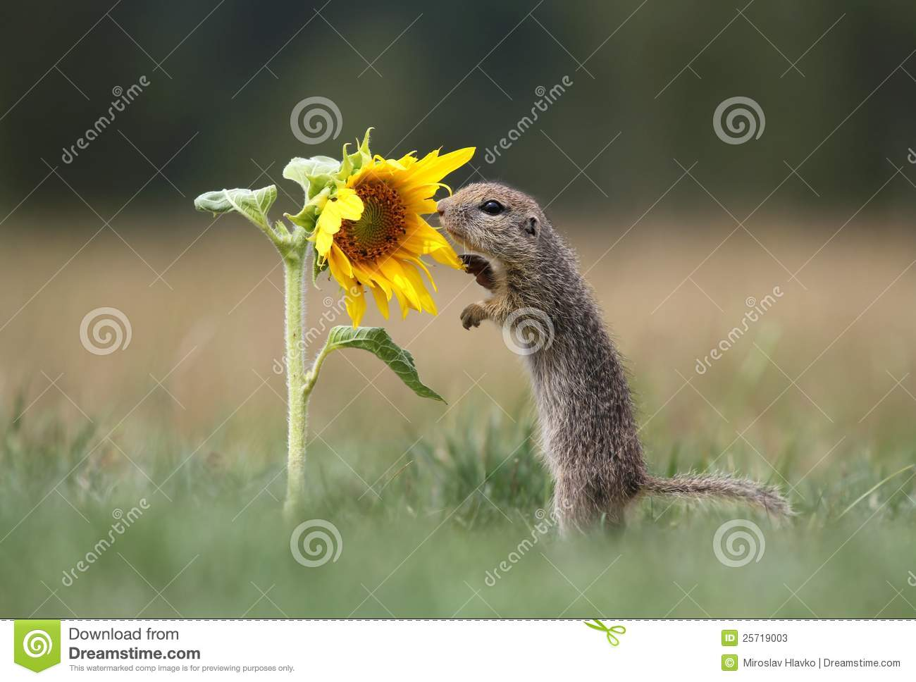 Ground squirrel and sunflower