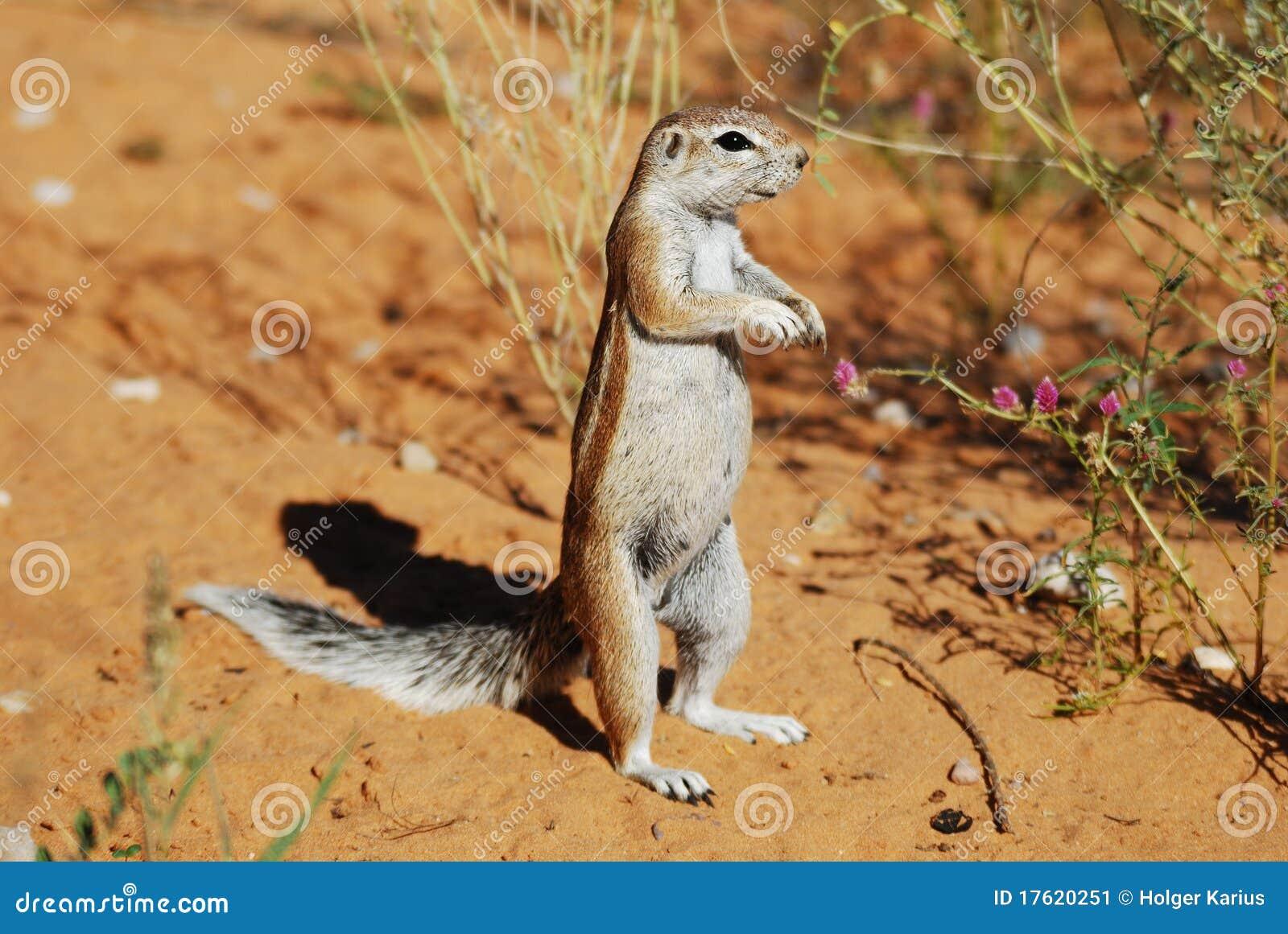Ground Squirrel (Xerus Inauris) Stock Image - Image: 17620251